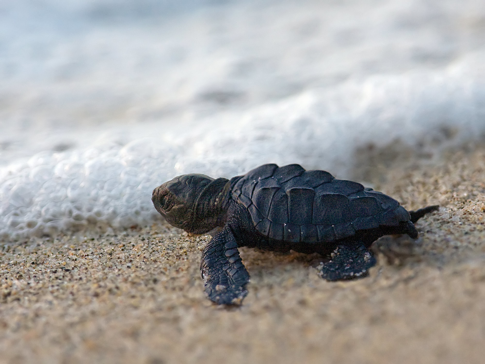 Green Sea Turtle Sunburst Background Underwater Stock Photo 2000×1500