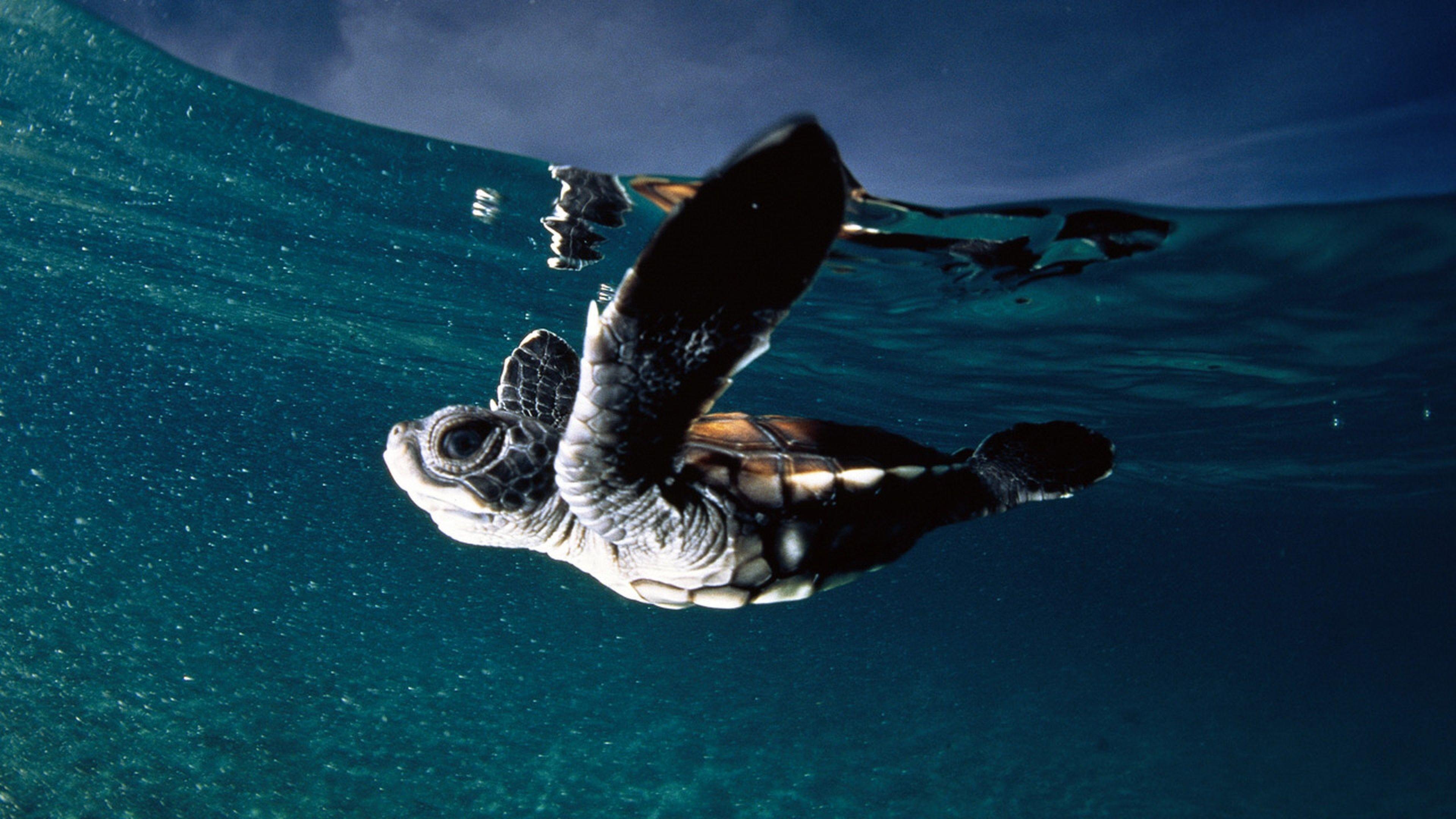 Download Wallpaper Turtle, Sea, Swim, Underwater 4K .
