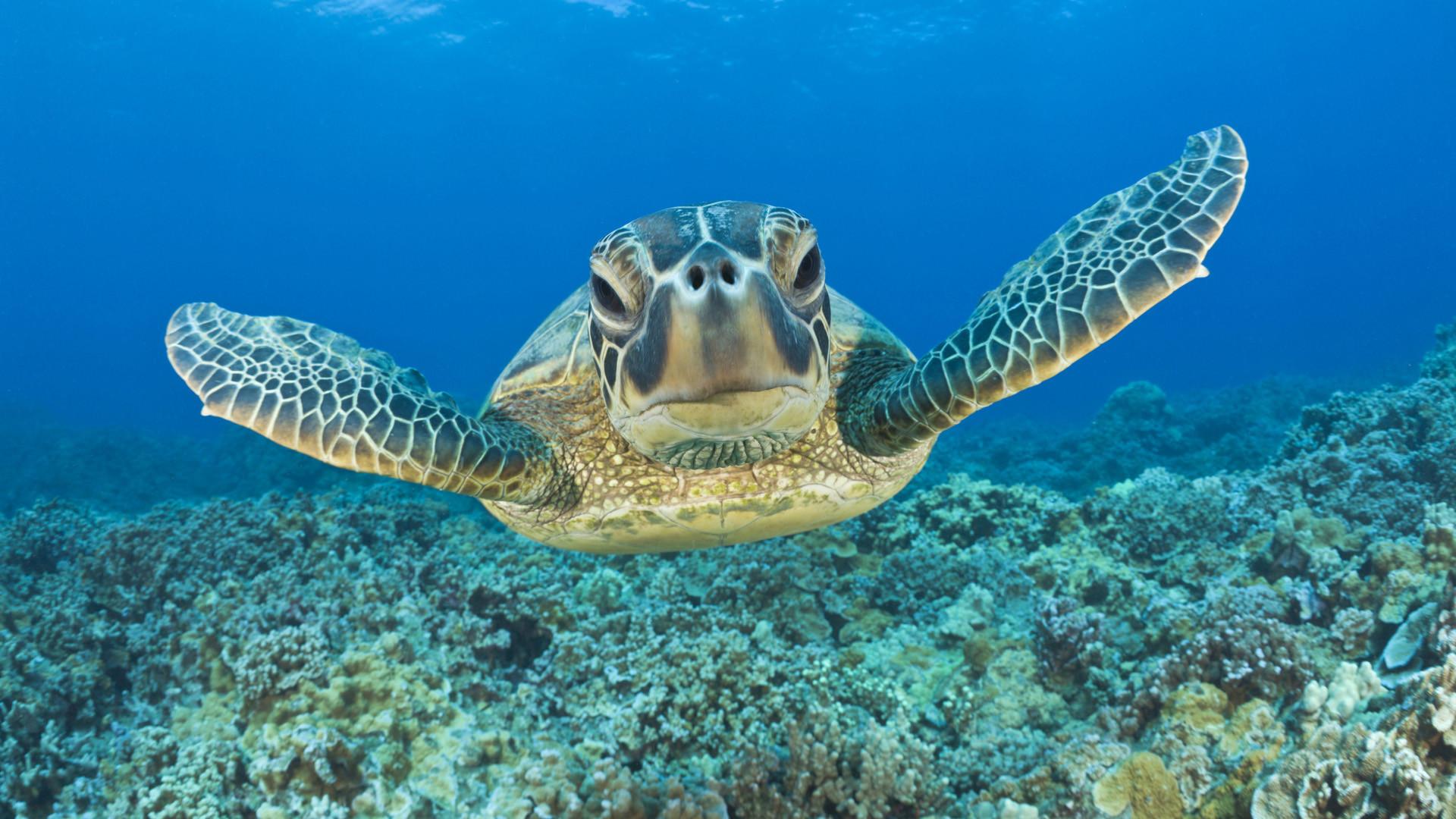 Bing Baby Turtle HD desktop wallpaper Widescreen High