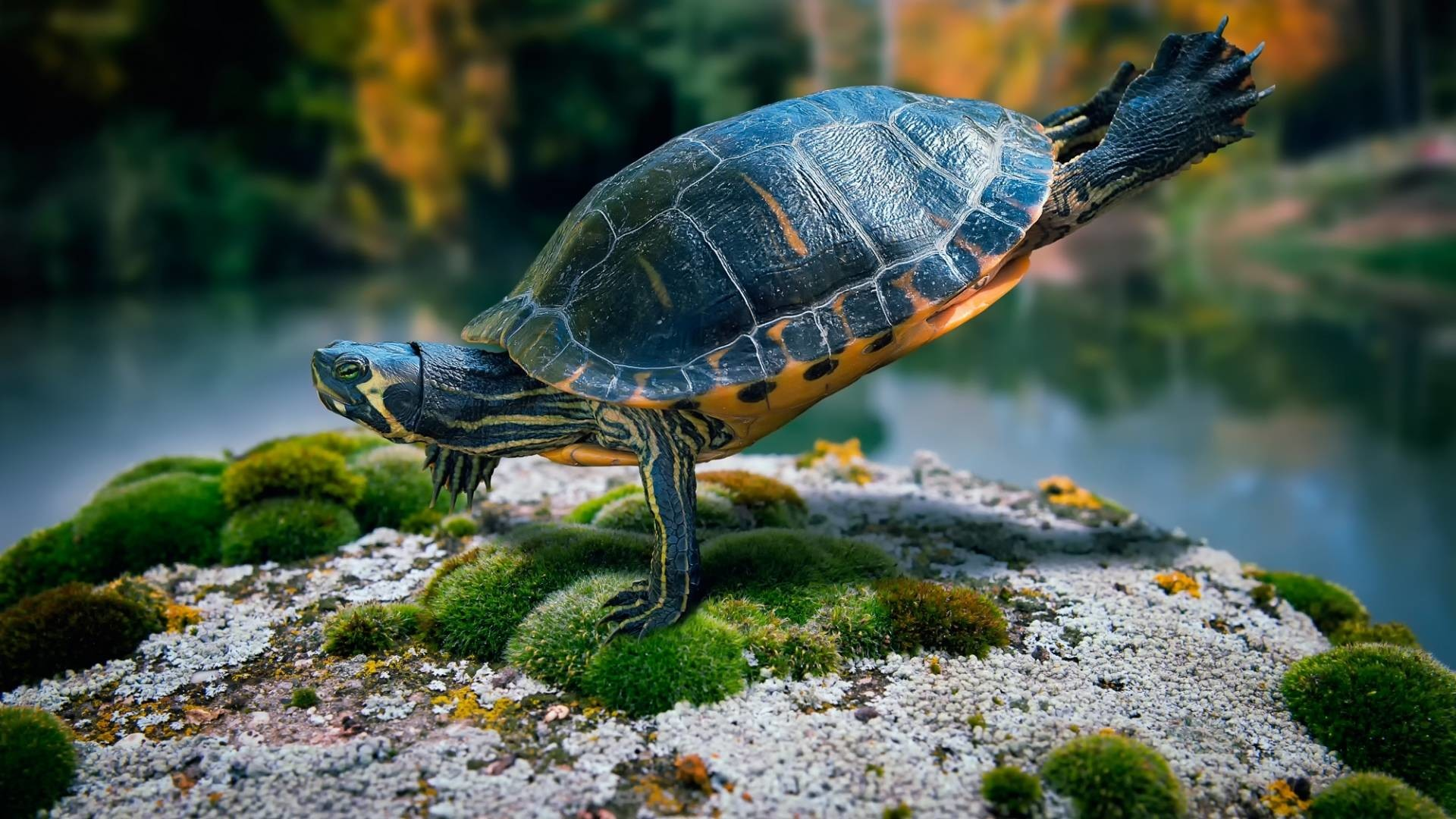 … turtle wallpapers hd download …