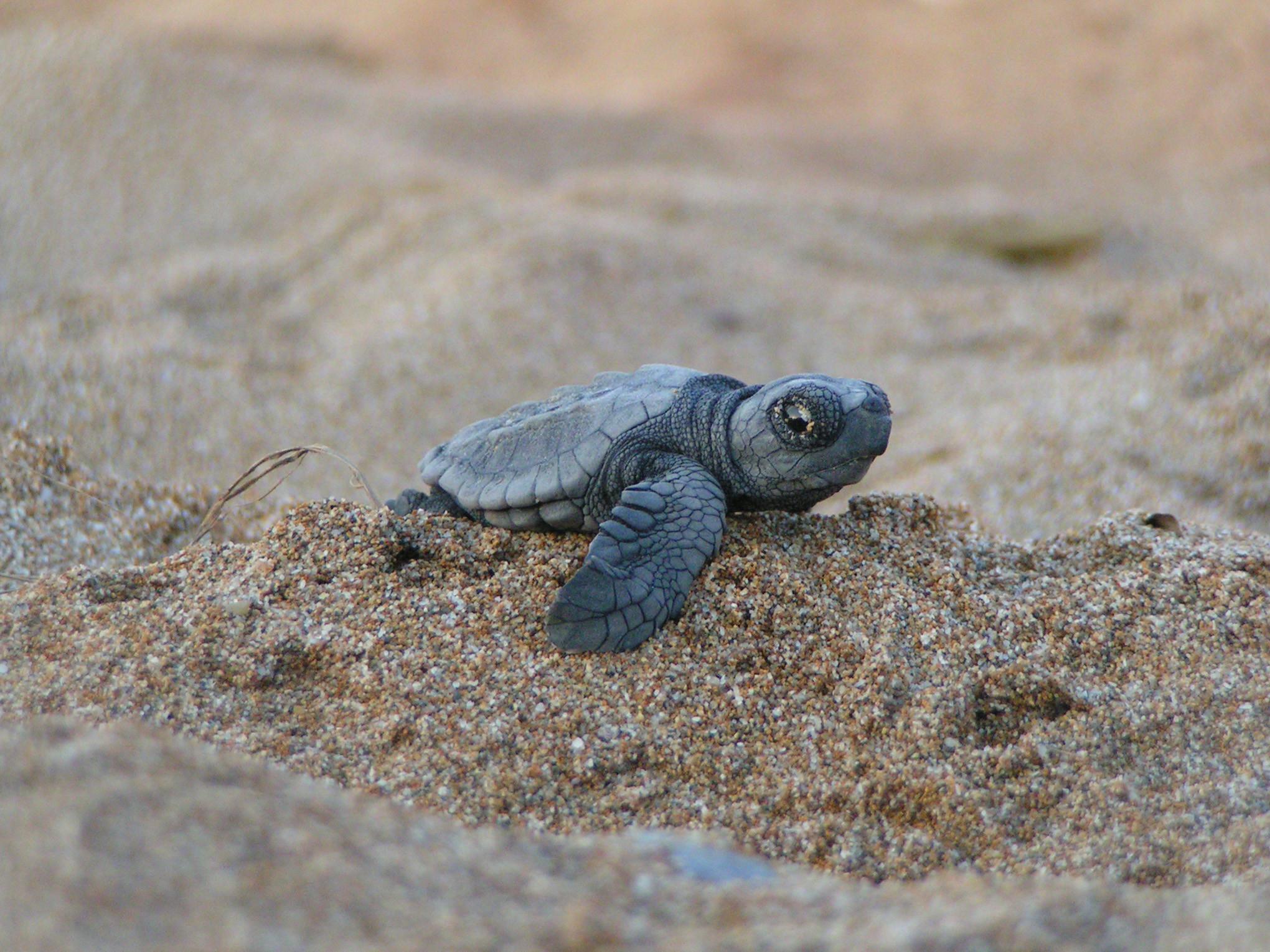 I wanna sea baby sea turtles hatch on a beach one day
