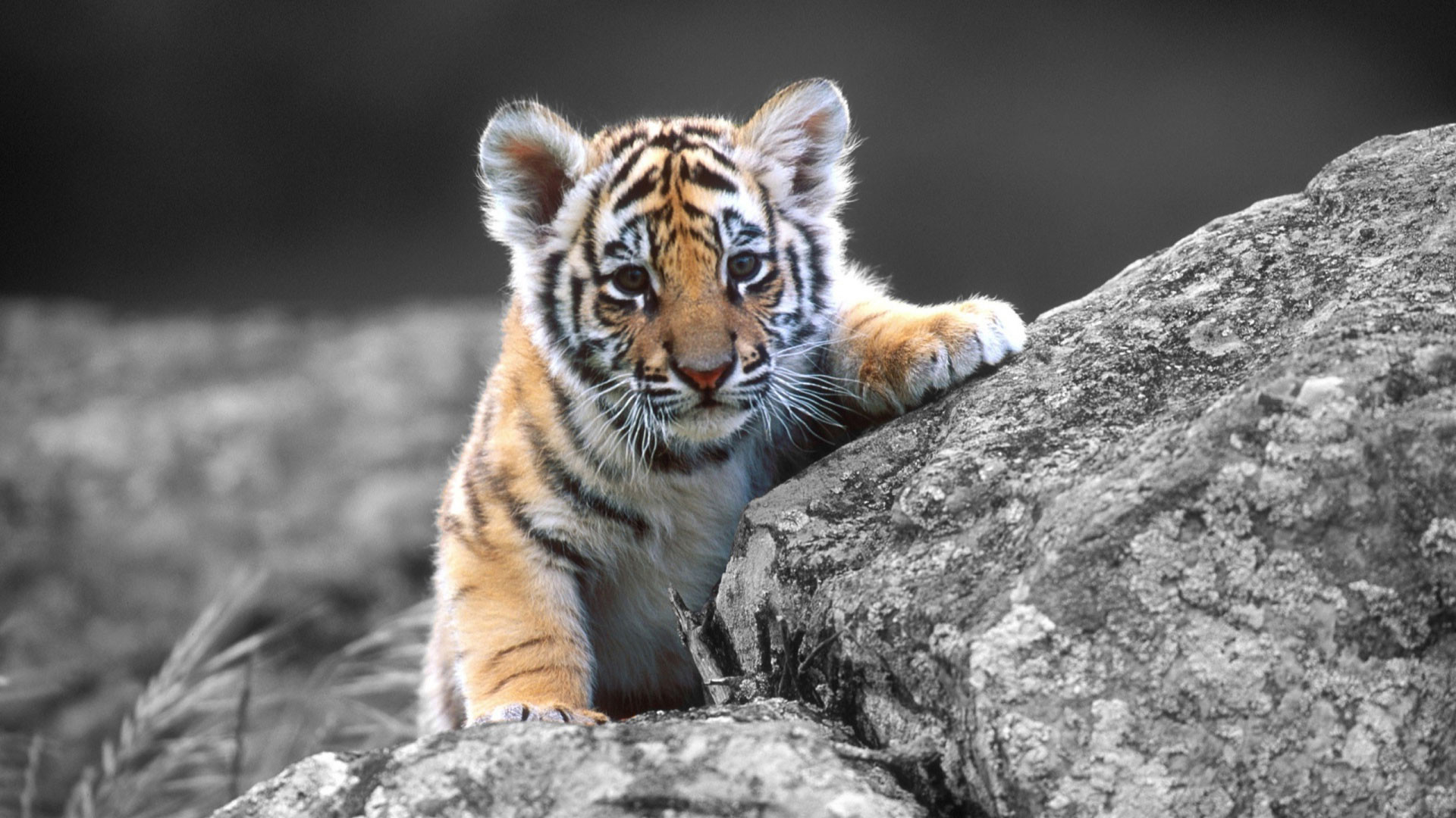 Cute Baby Tigers Wallpapers Widescreen 2 HD Wallpapers
