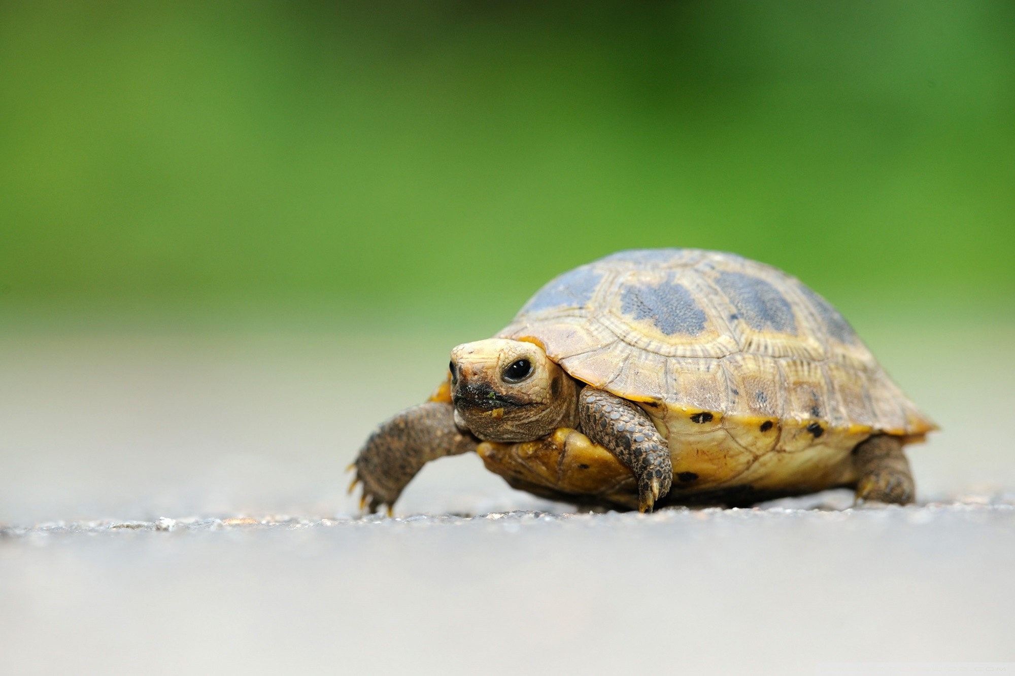 Baby Elongated Tortoise HD Wide Wallpaper for Widescreen