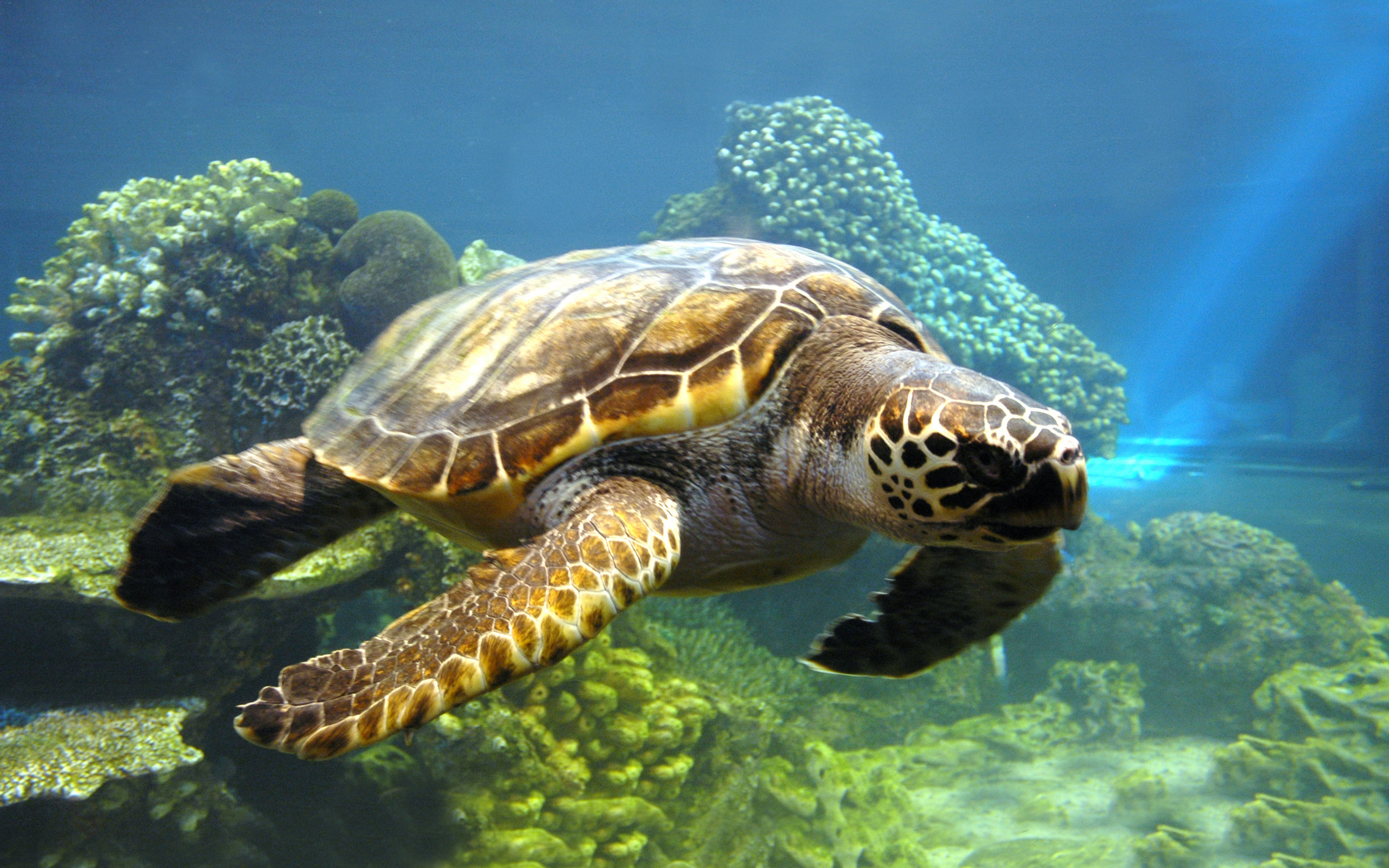 Turtle-Wallpaper