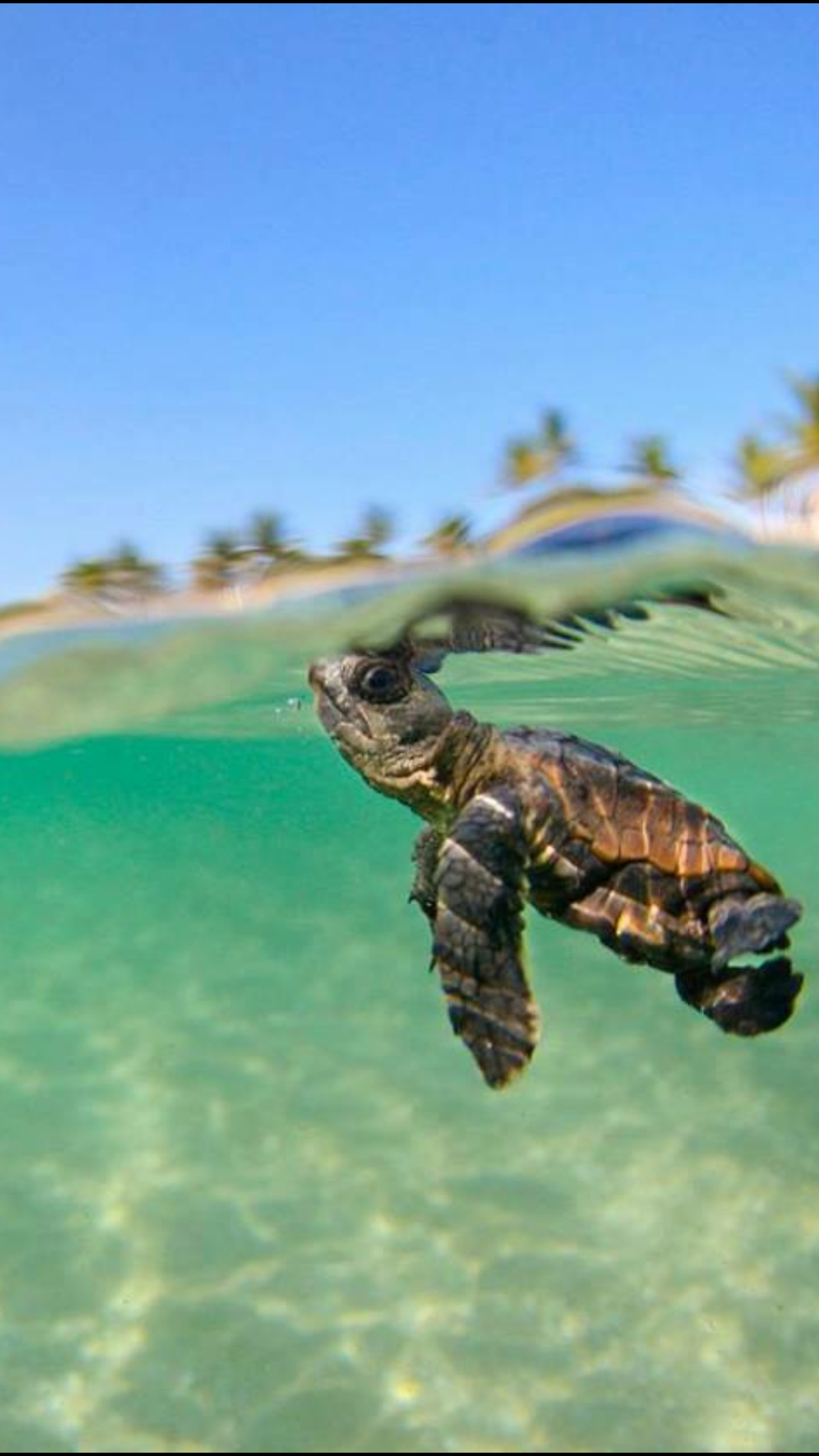 Just keep swimming . just keep swimming – baby sea turtle.