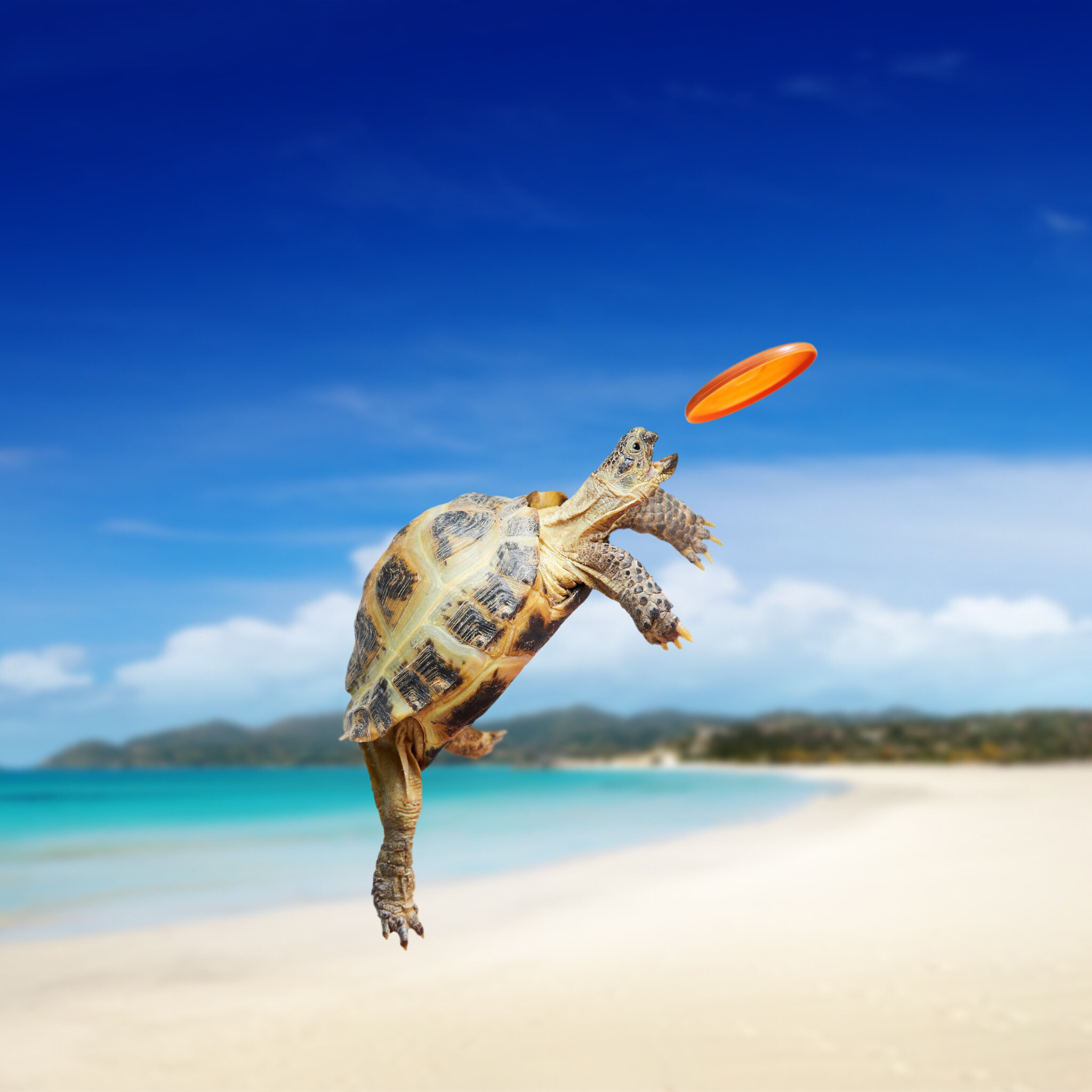 Baby turtle trying to catch a miniature frisbee,can it get better