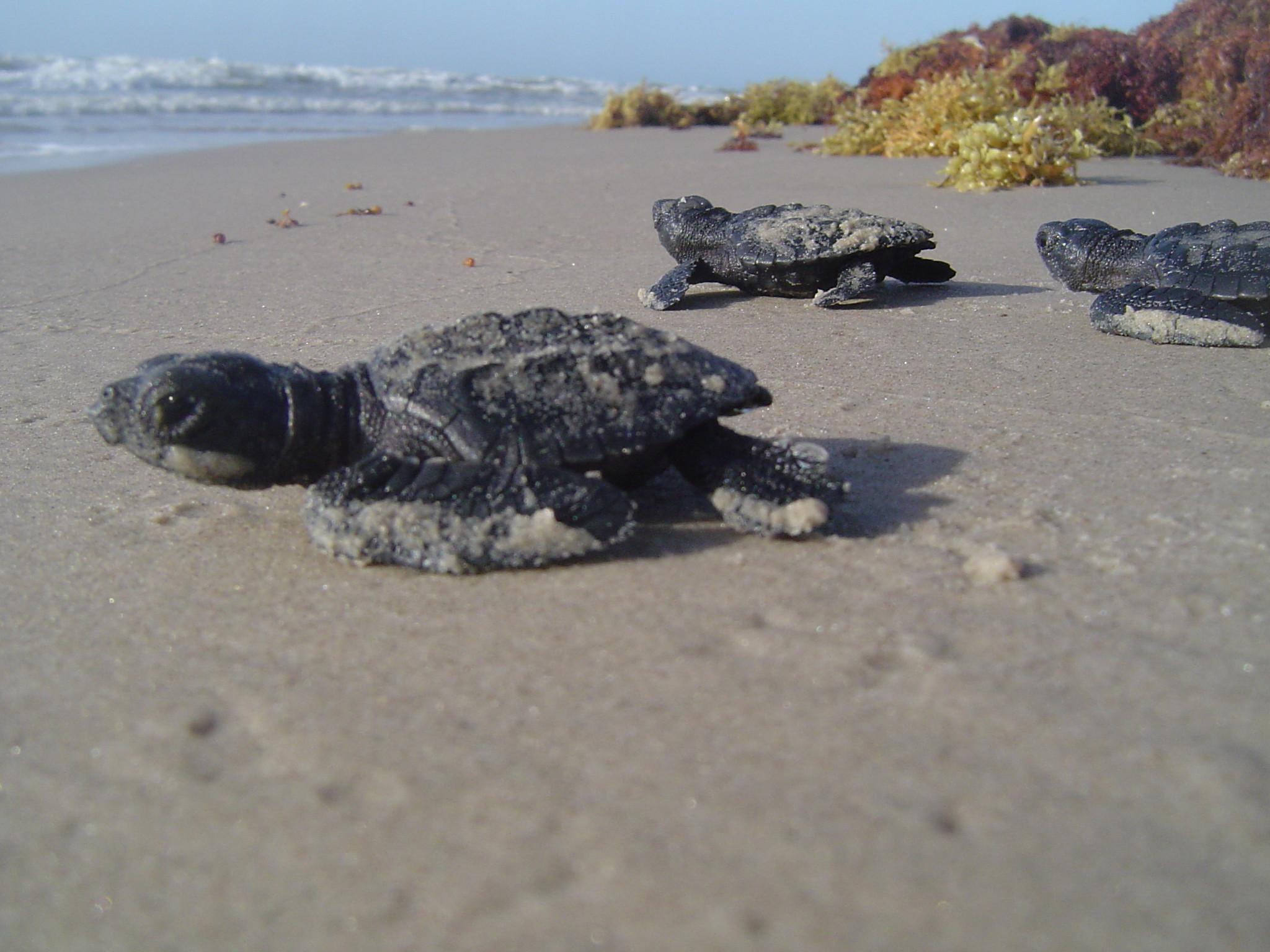cute baby sea turtle wallpapers – photo #5. Lomi Lomi Nui Massage und  Ausbildung für höchste Ansprüche .
