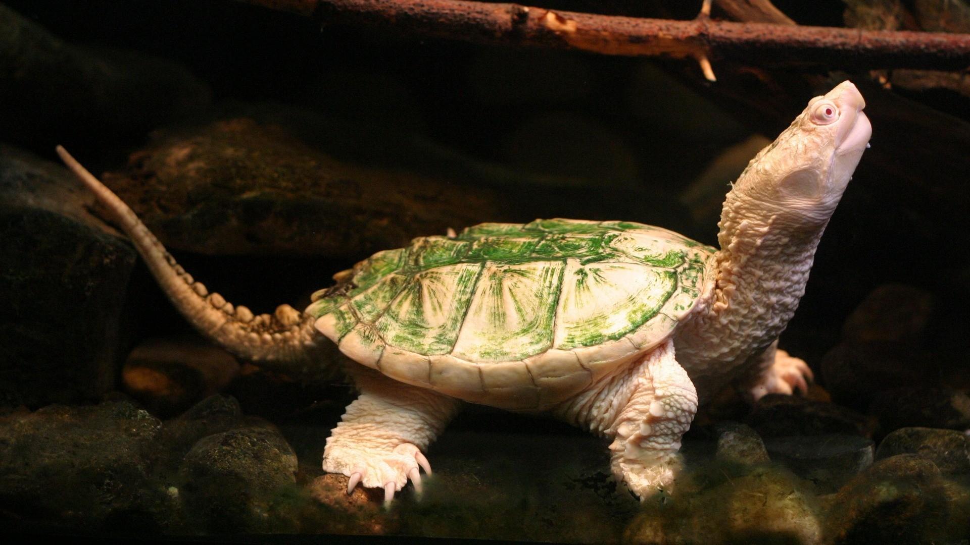Interesting Turtle Wallpaper.