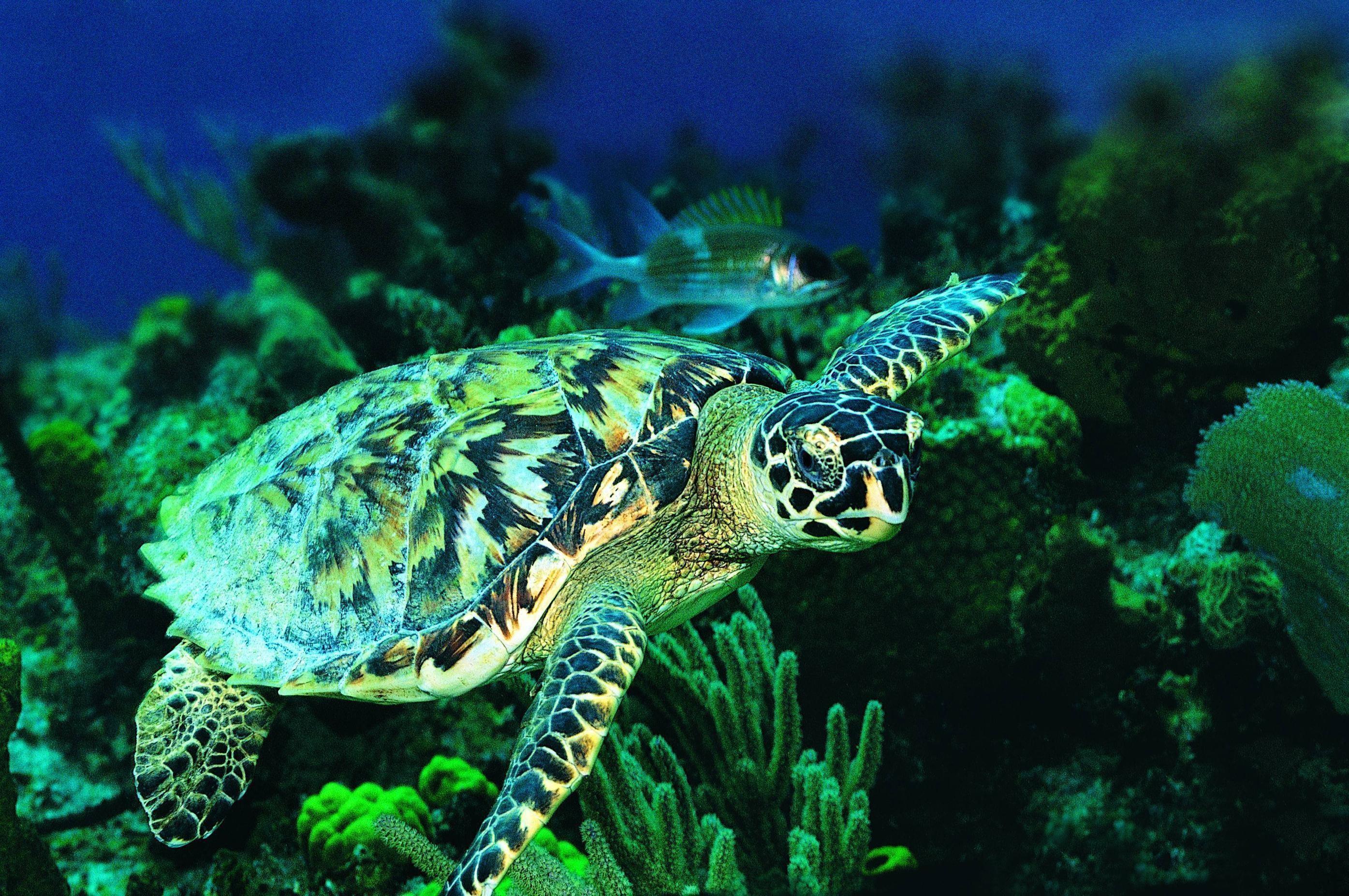 Animal <b>Wallpaper</b>: Baby <b>Sea Turtle