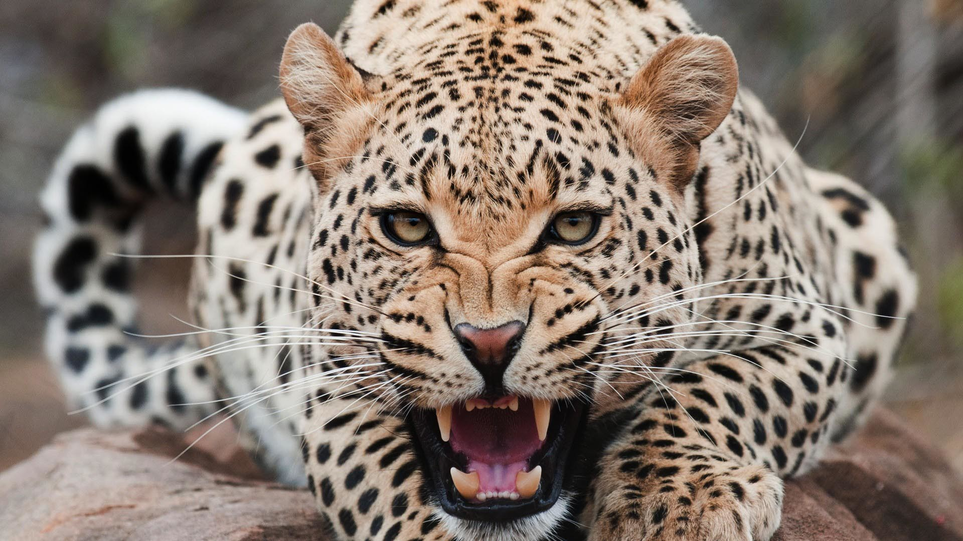angry-leopard-hd-wallpapers-free-downlaod-animal