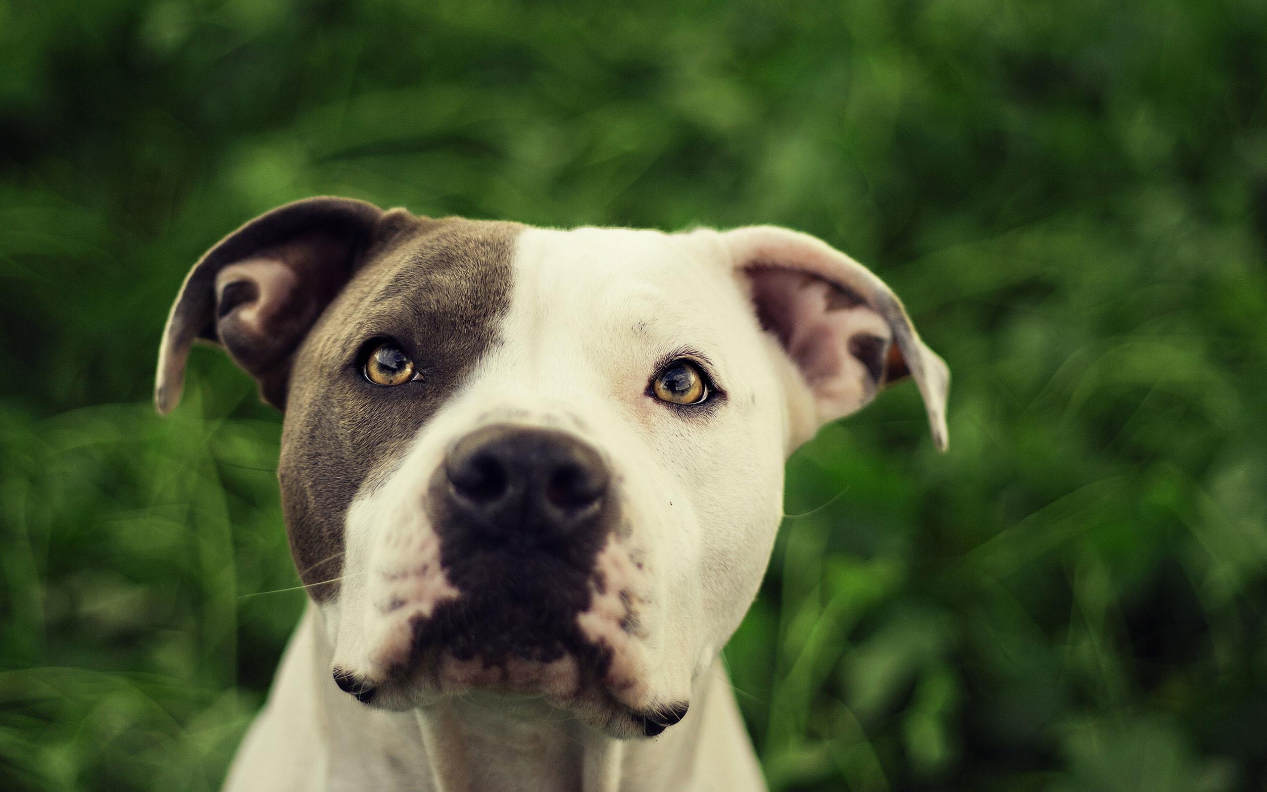 Pitbull Dog Wallpaper Background 49482