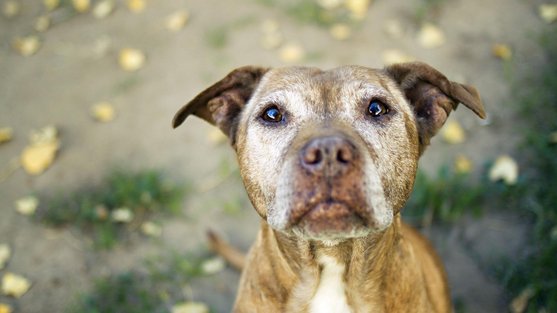 Cute Dog Pitbull Puppies HD Wallpaper Cute Dog Pitbull Puppies