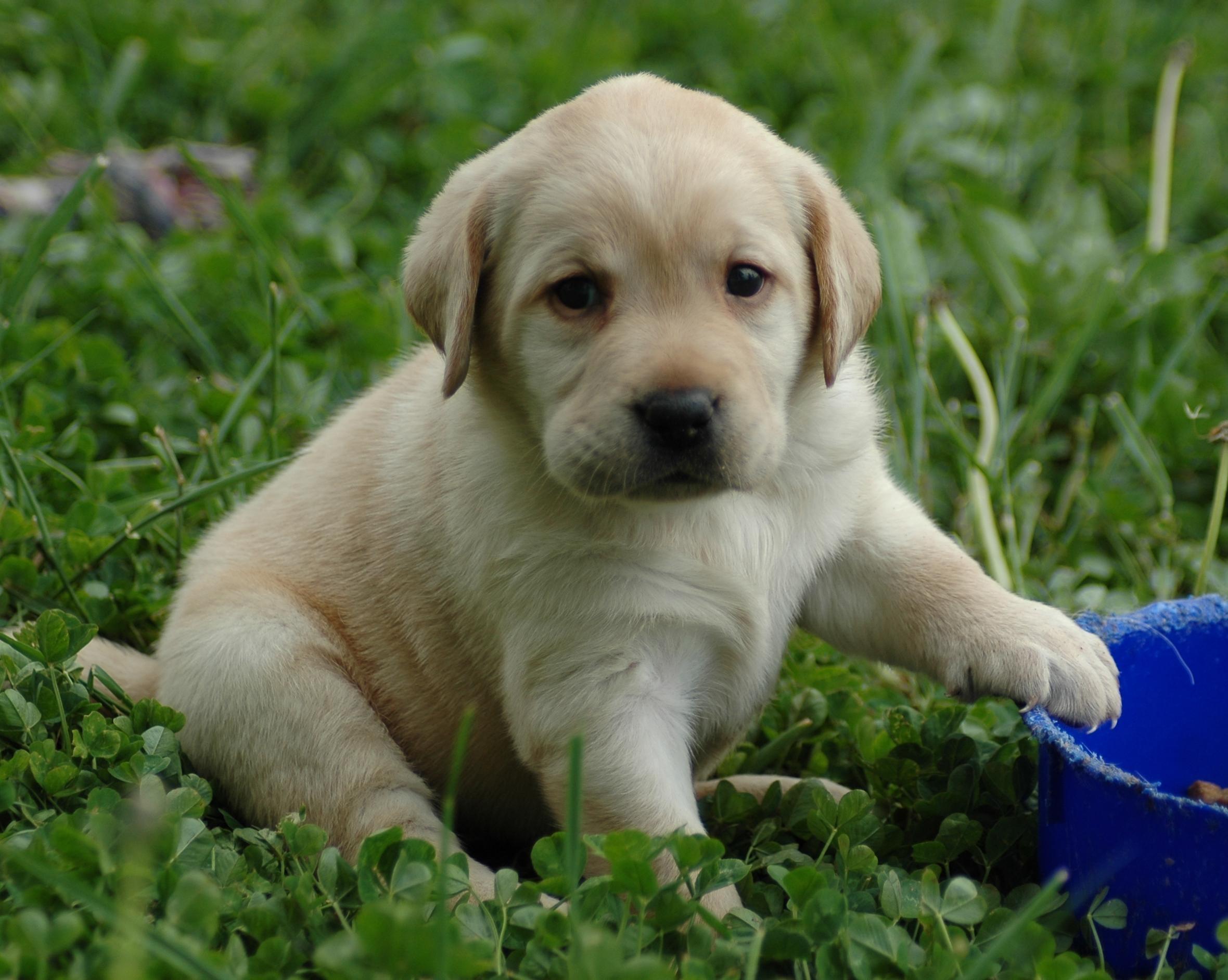 Pitbull Dog Puppy HD Wallpapers | Pitbull Puppy Dogs Desktop .