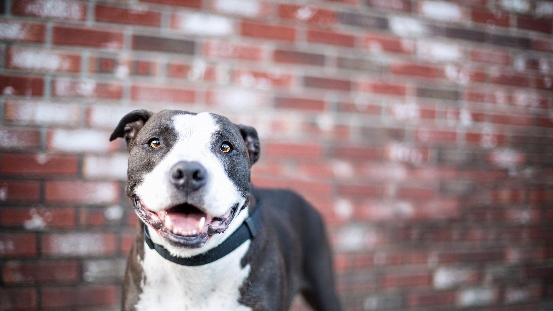 12 HD Pitbull Dog Wallpapers