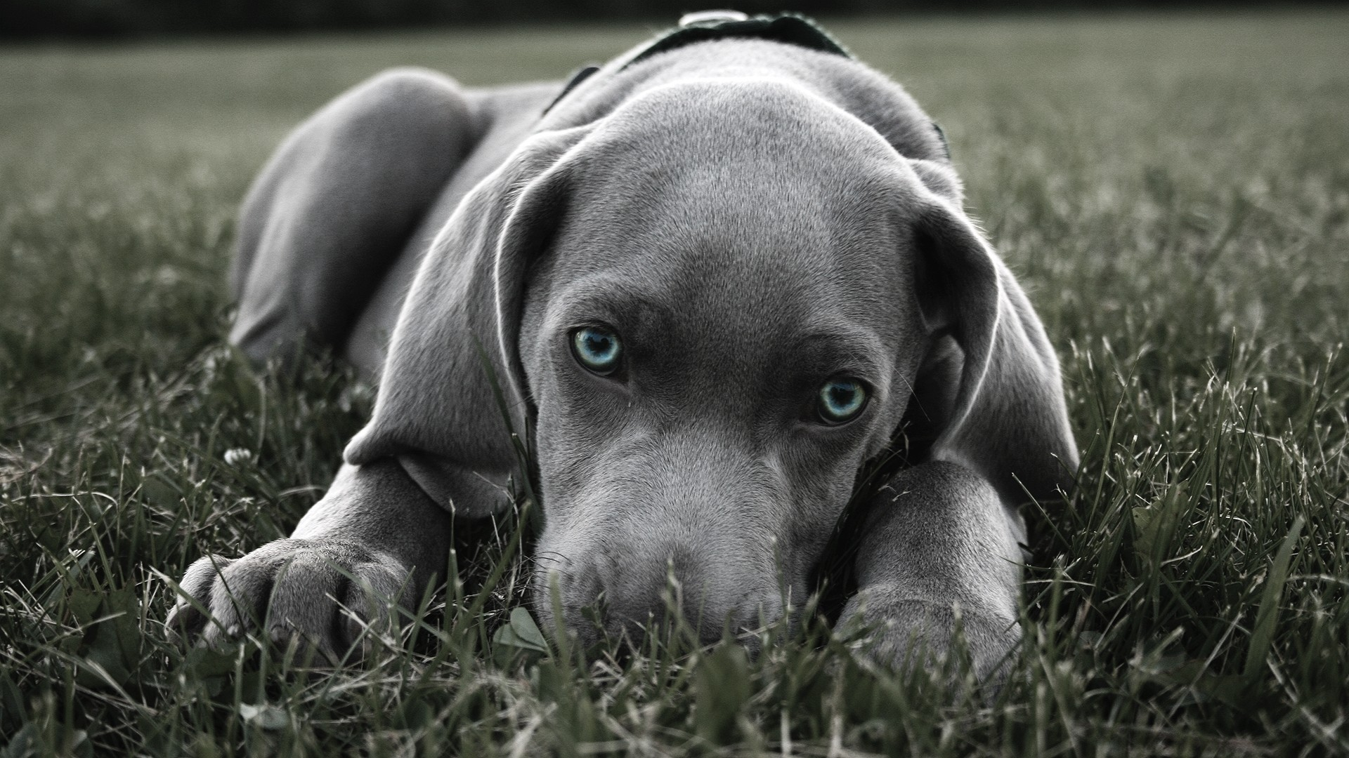 blue pitbull puppies pictures wallpaper