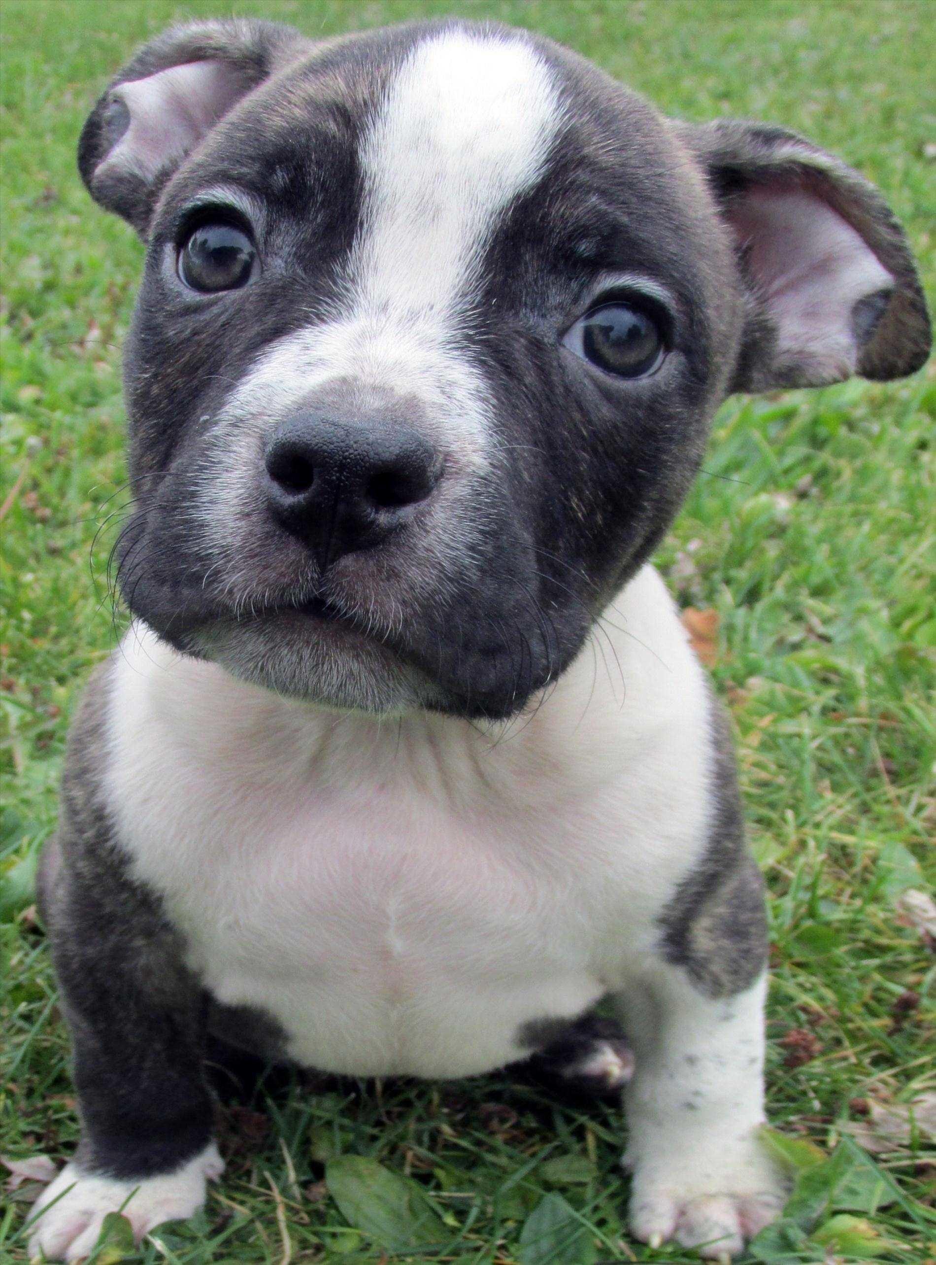 Pitbulls With Blue Eyes Pitbull Puppies For Sale Red Wallpaper Hd Desktop  Pitbull Gray Baby Pitbulls