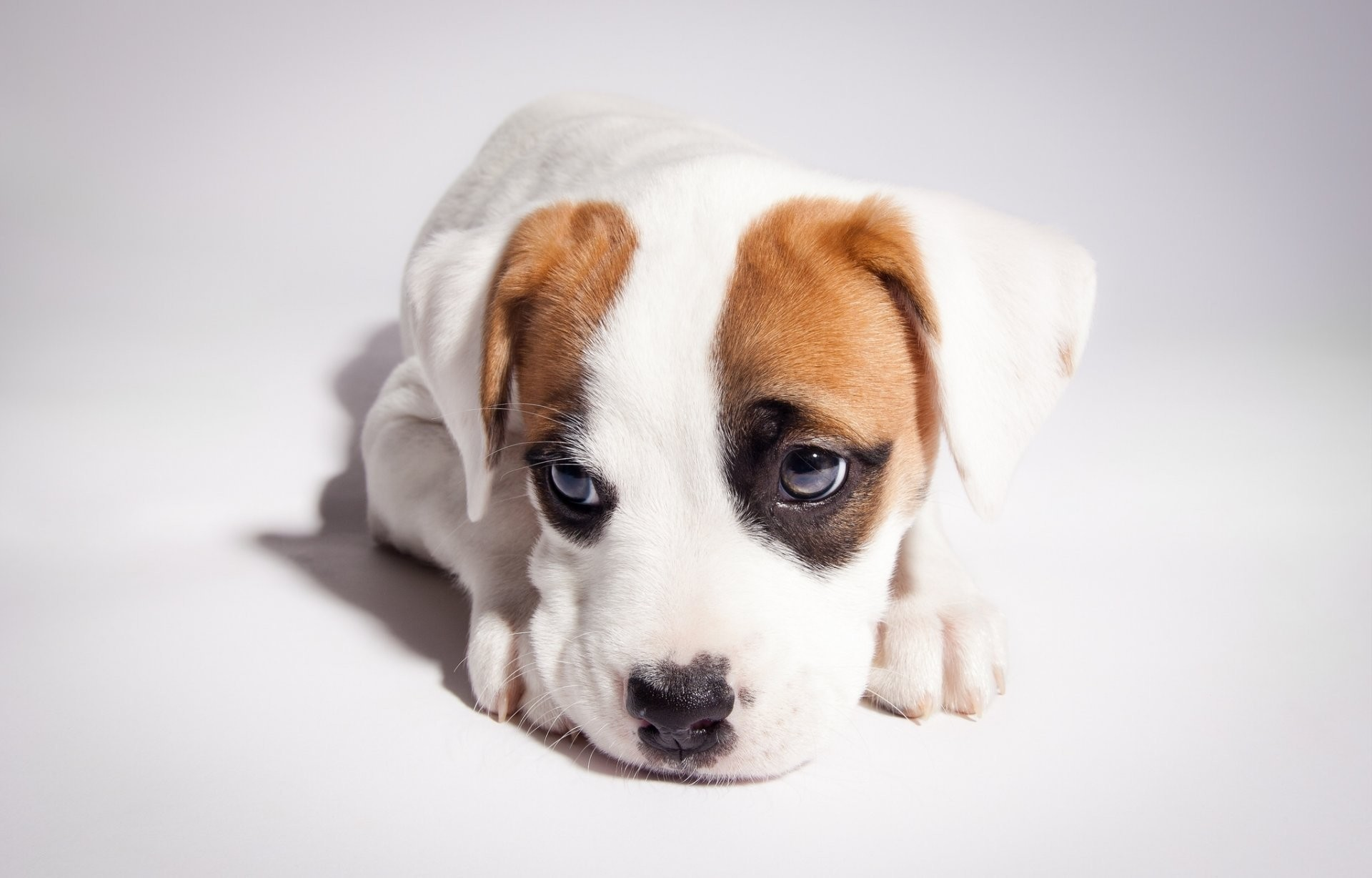 pitbull boxer mix pitbull puppy