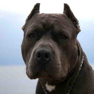 Pit Bull Puppy Wallpaper HD