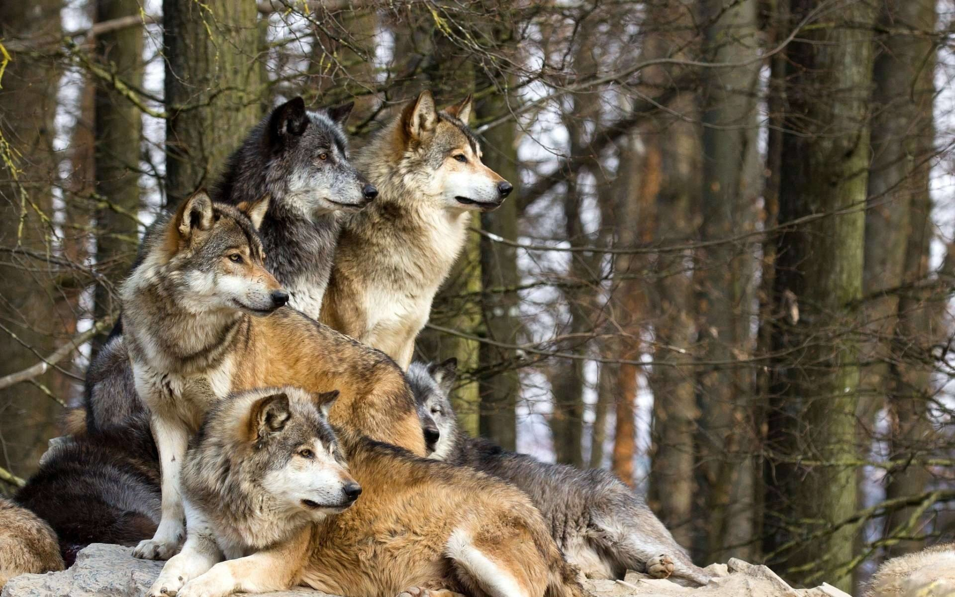 family of wolves, also known as a pack. Fit for a wallpaper.