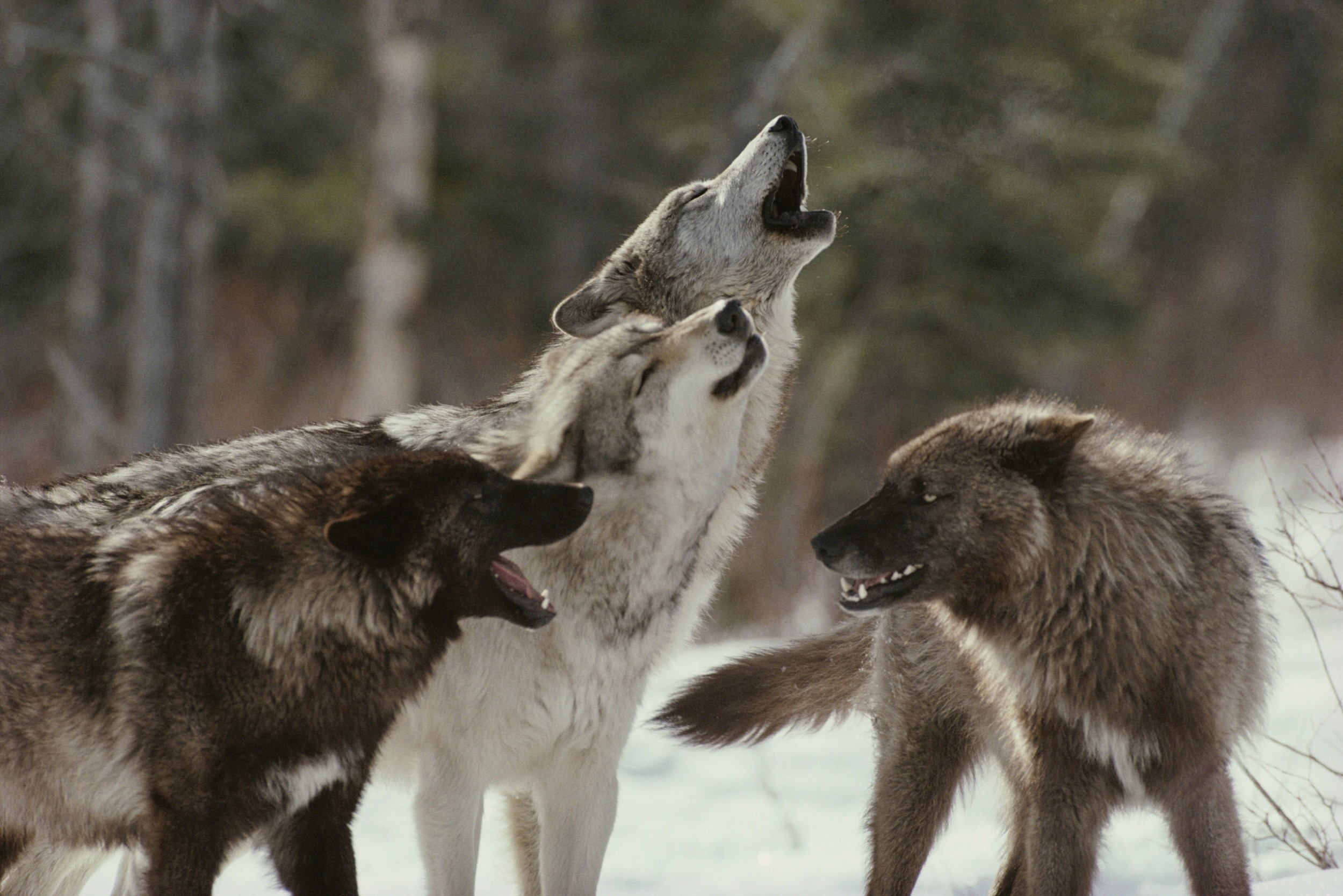 wolf-pack-howling