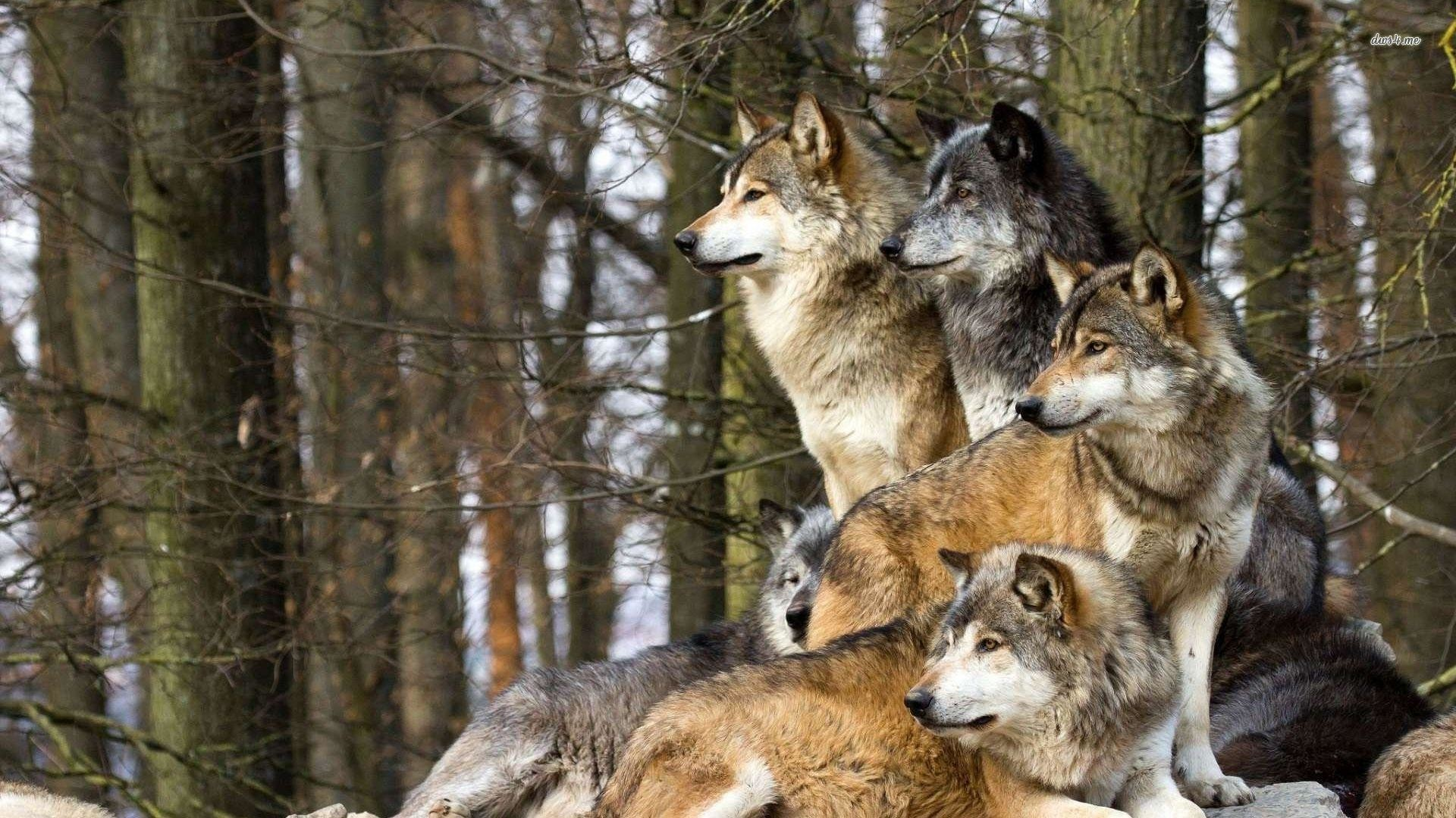 Wolf Pack Wallpaper – WallpaperSafari