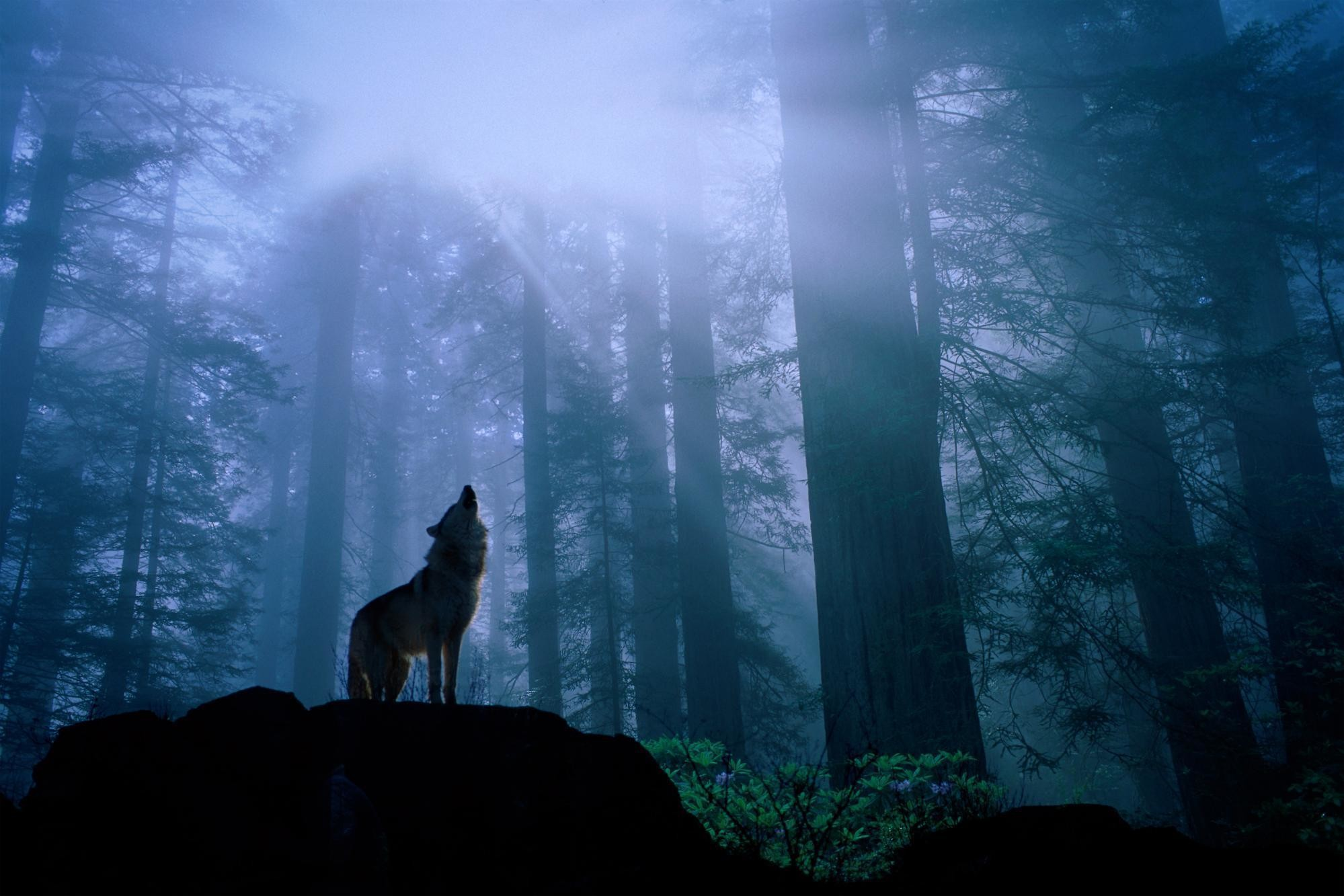 Grey <b>Wolf Howling Wallpaper</b>