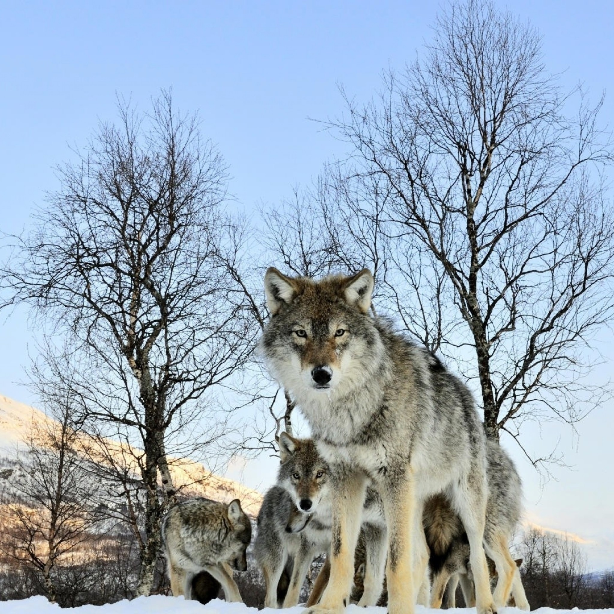 Wallpaper pack of wolves, winter morning, wolf