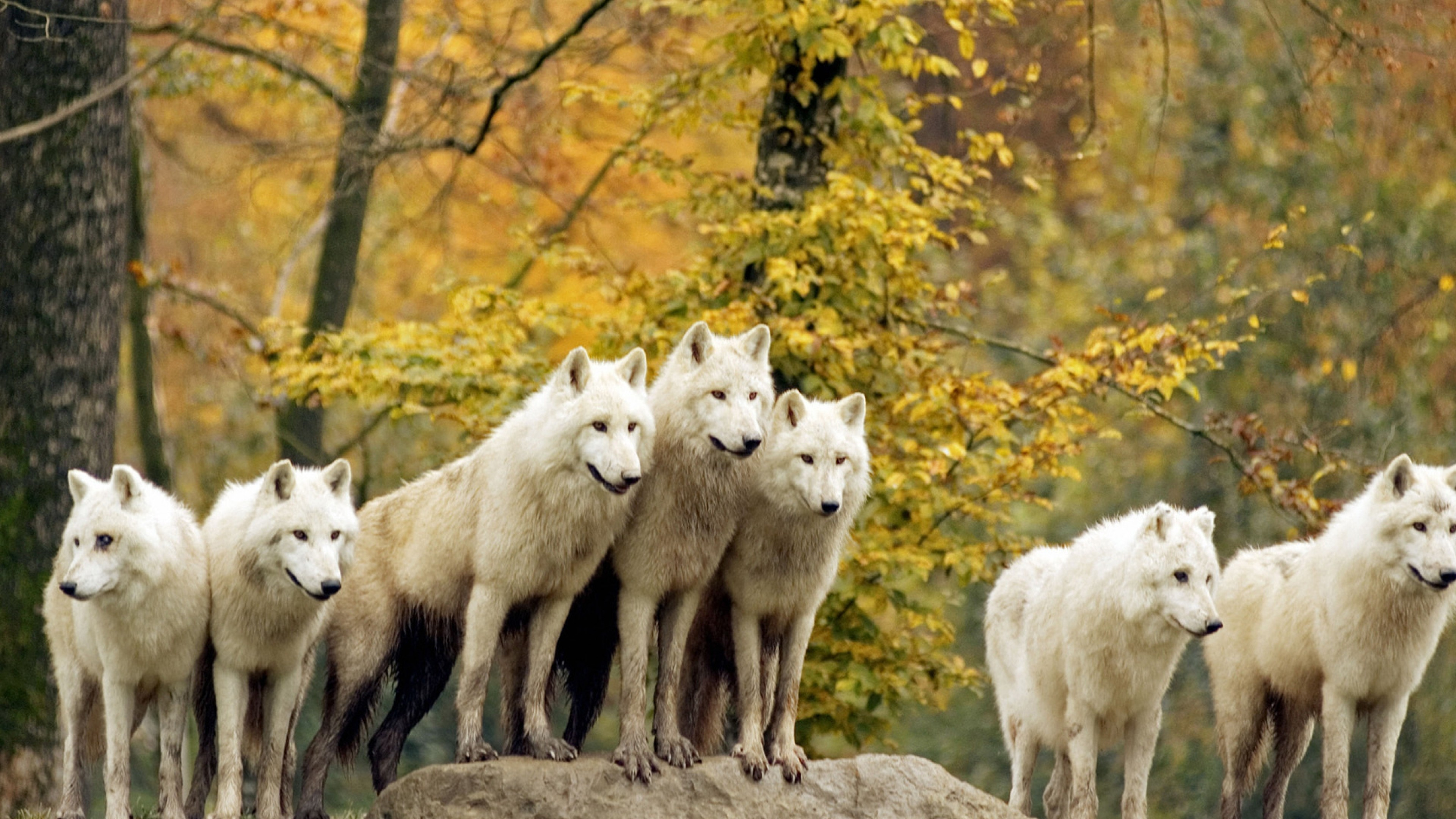 Wolves, Forest, Flock, Grass, Trees, Autumn, Hunting, Family Wallpaper