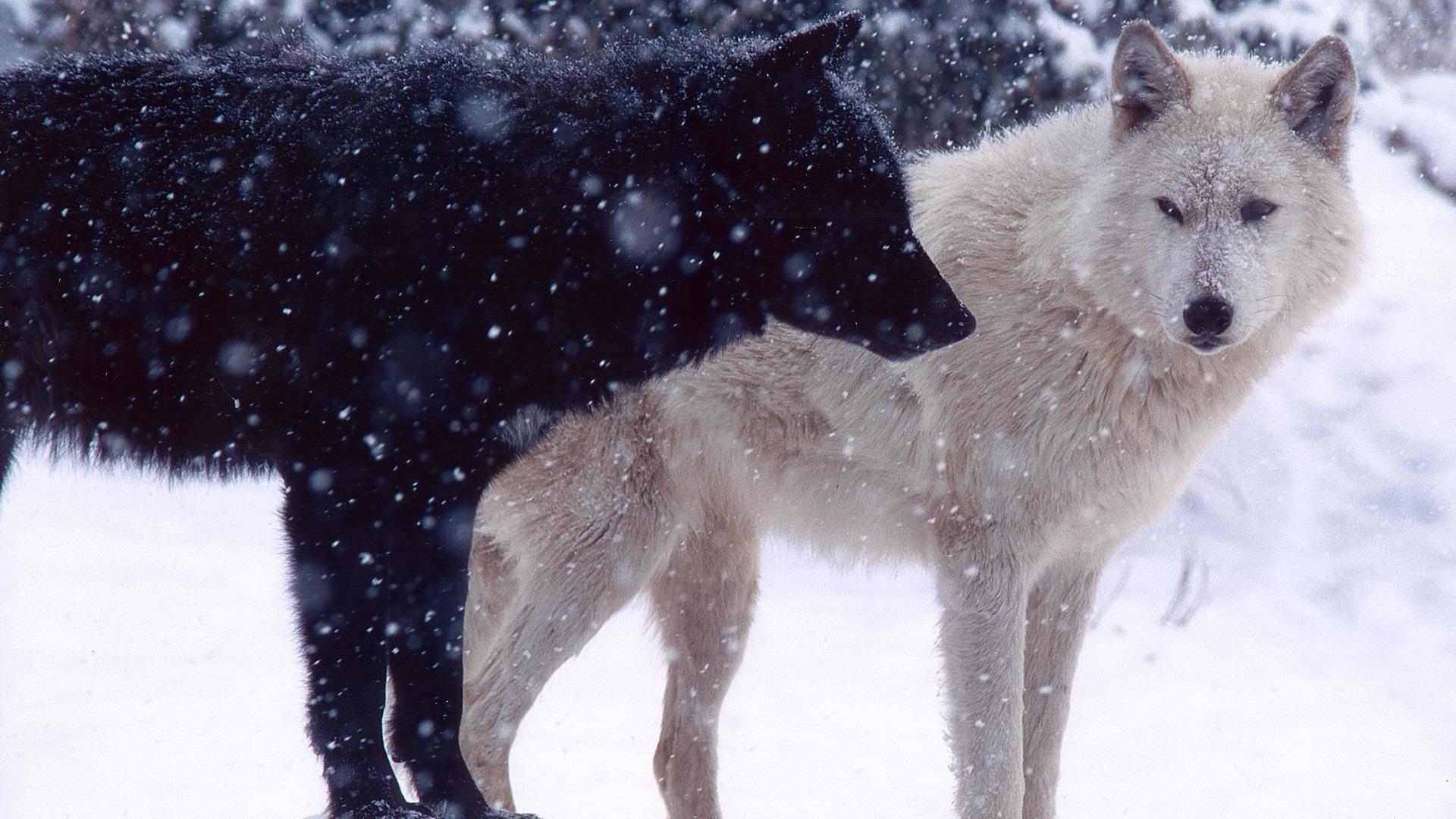Pack Of Wolves Wallpaper 2880×1800 Id 40799 Wallpapervortex