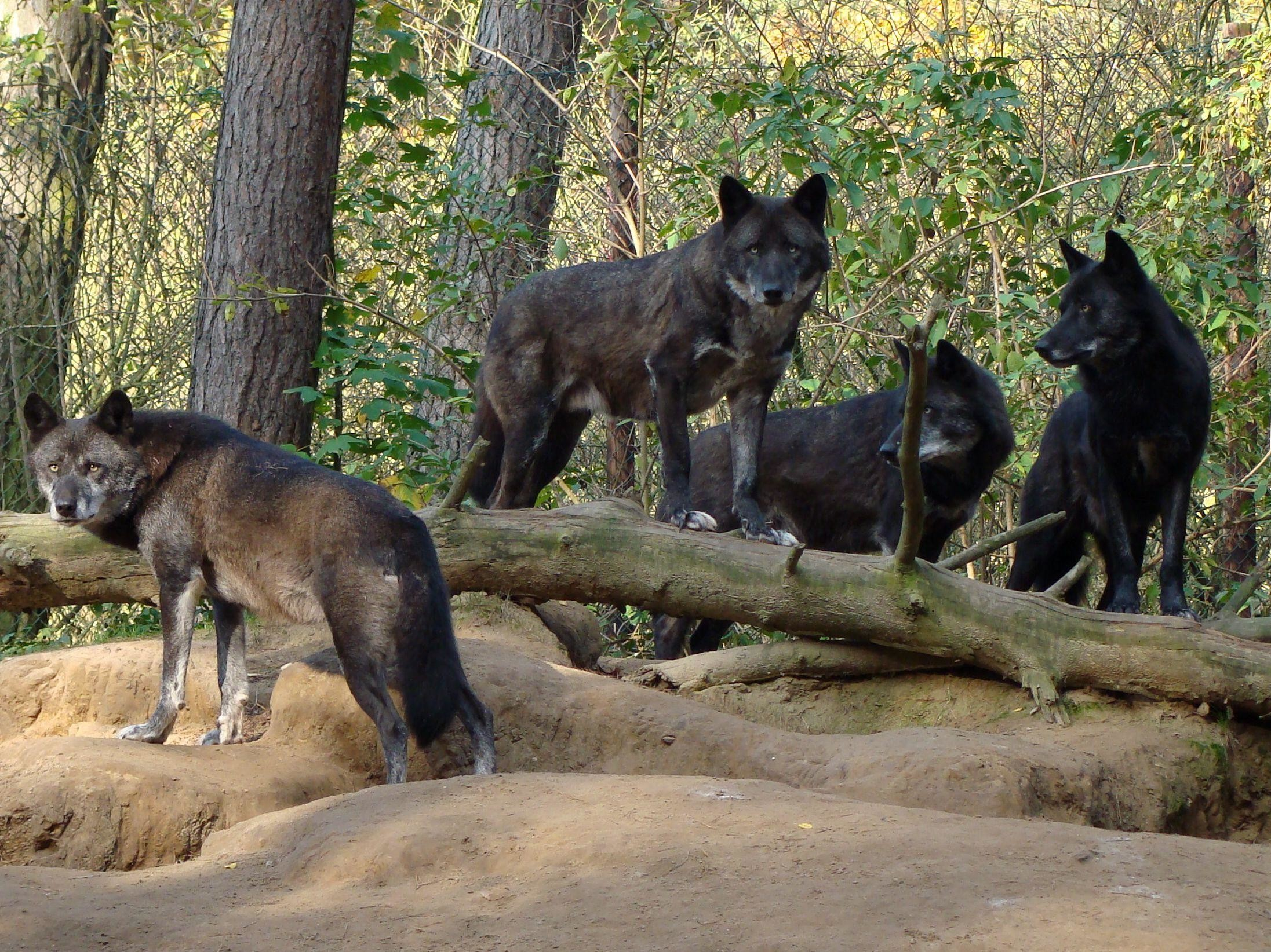 nice pack of black wolves in the forest wallpaper