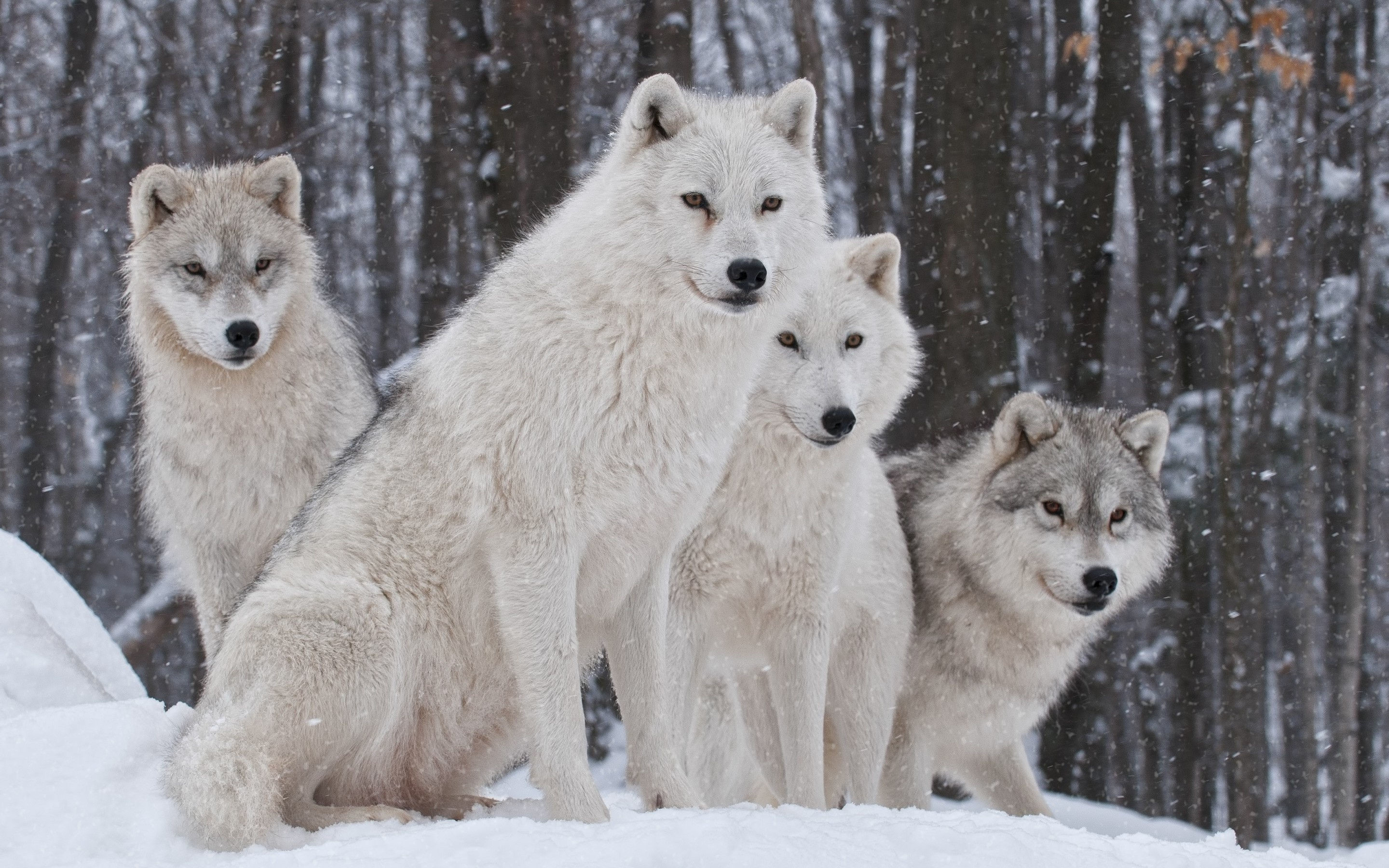 White Wolves HD Wallpaper and Pics
