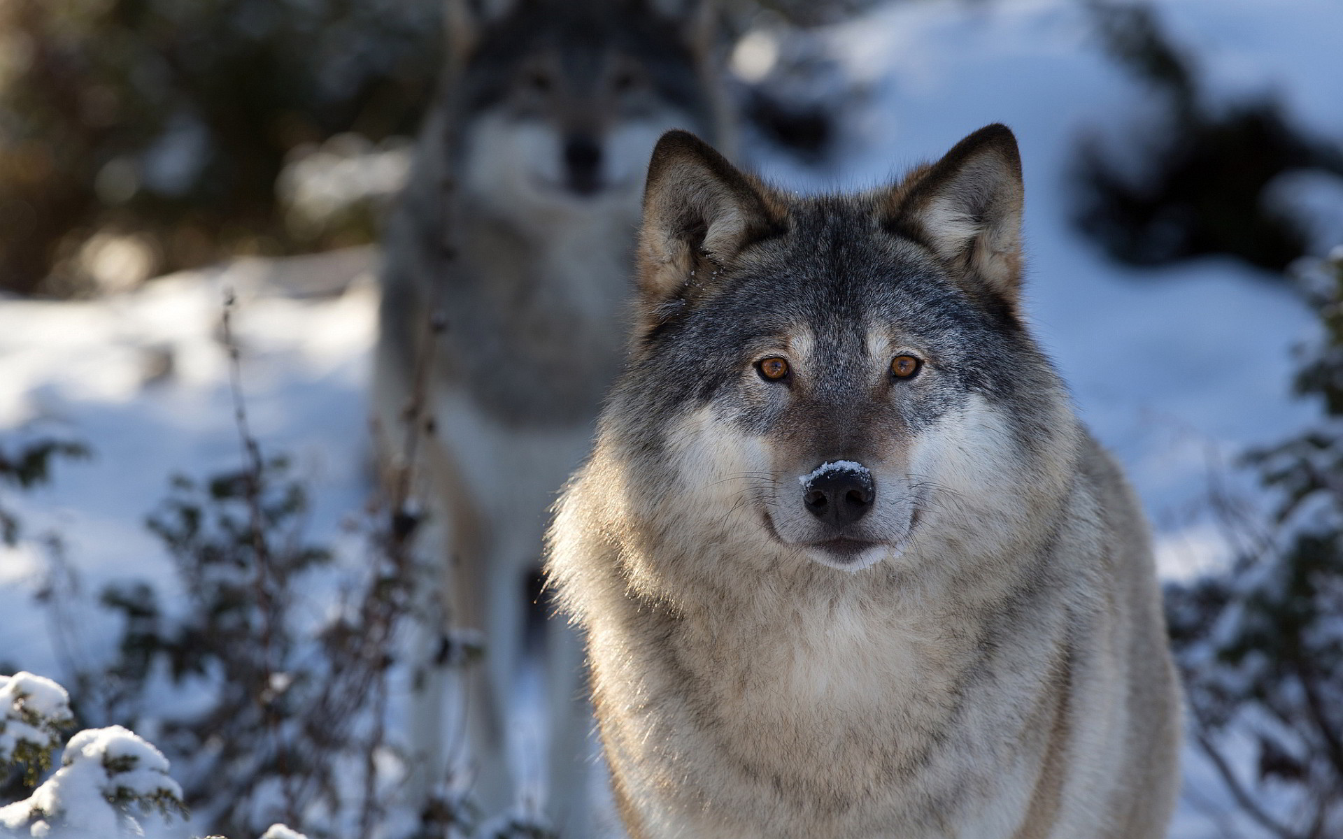 My love of wolves started after I read The Wolves of Willoughby Chase at  school.