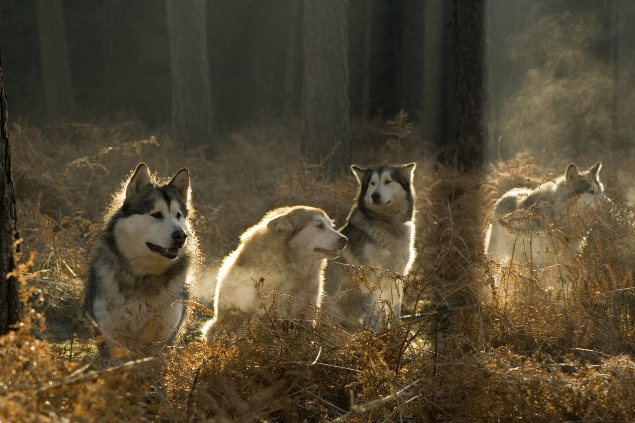 Dogs are social animals with a well defined pack hierarchy. Whether you are  a pack of one dog or multiple canines, it's important to understand the …