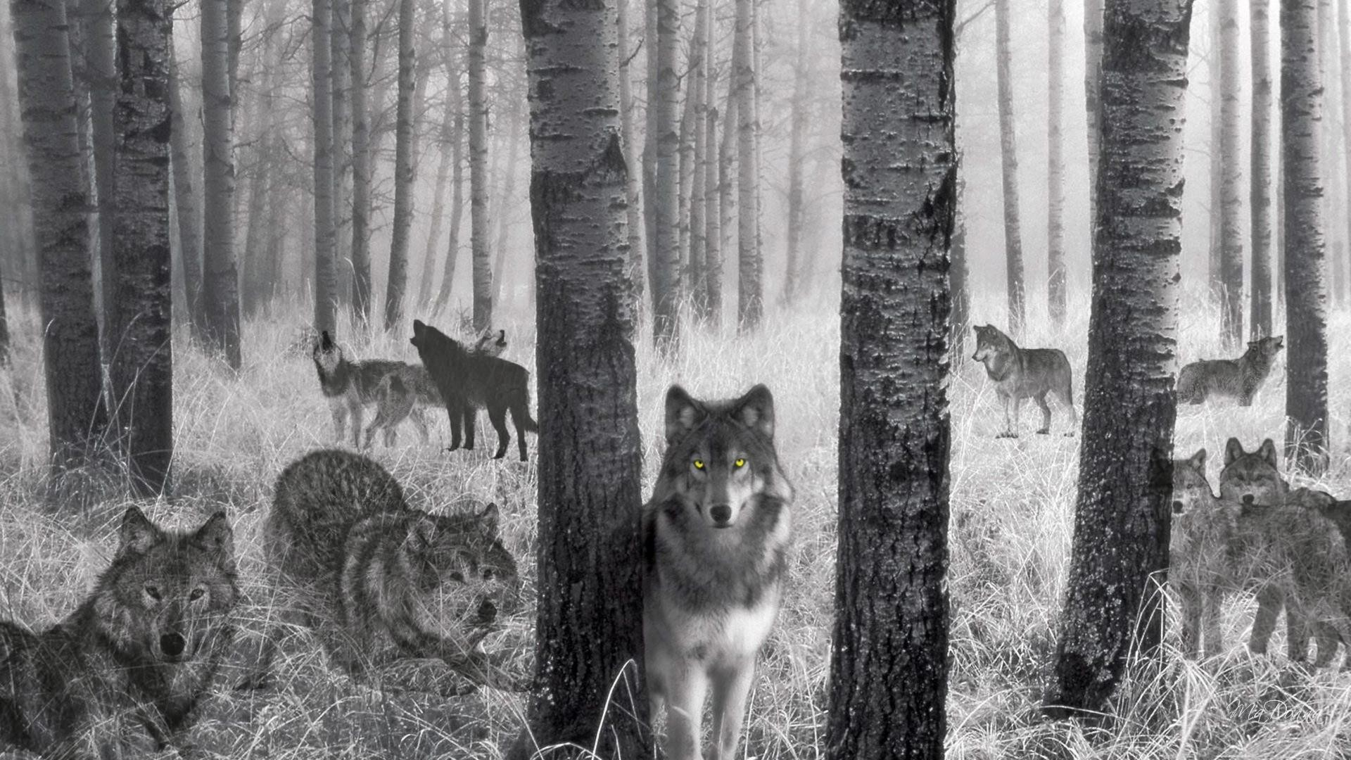 Wild Wolf Live HD Wallpaper – Android – Free Wild Wolf Live HD Wallpaper  application is a Super Live Wallpaper collection of the beauty in the world.