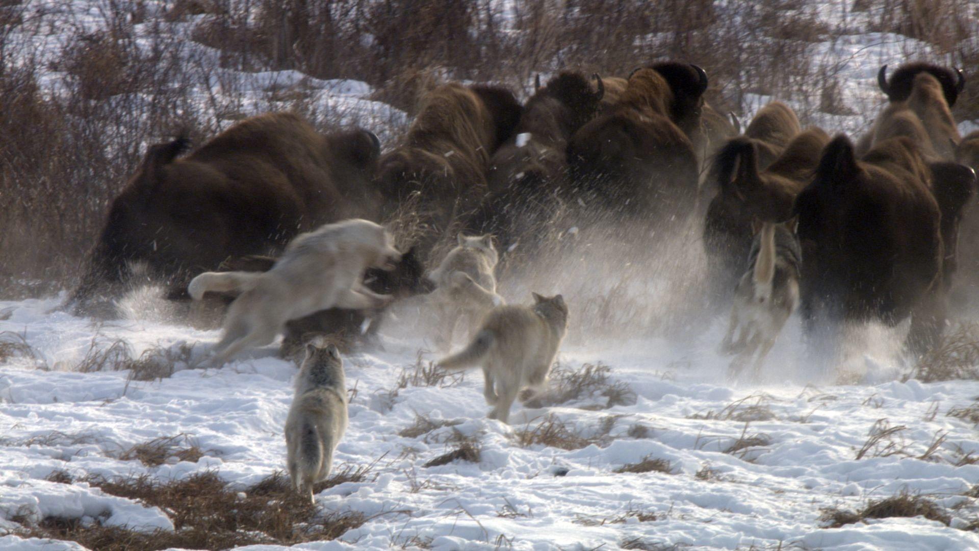 Nature (Season 31) – Cold Warriors: Wolves and Buffalo   Press Release    Pressroom   THIRTEEN