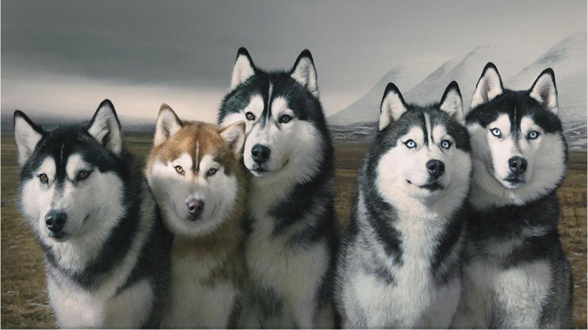 Pack Of Siberian Huskies wallpaper thumb
