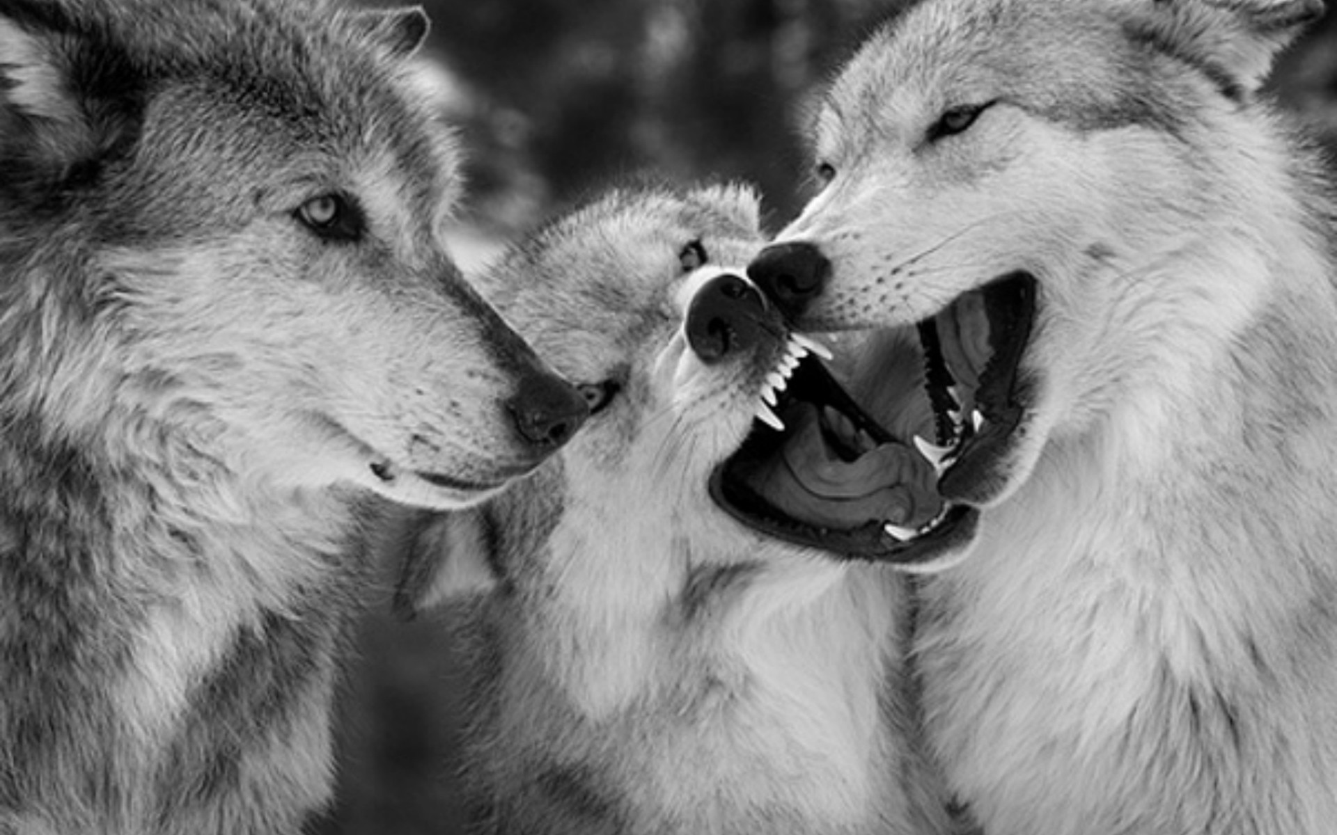 Widescreen Wallpapers of Wolf   Incredible Photos