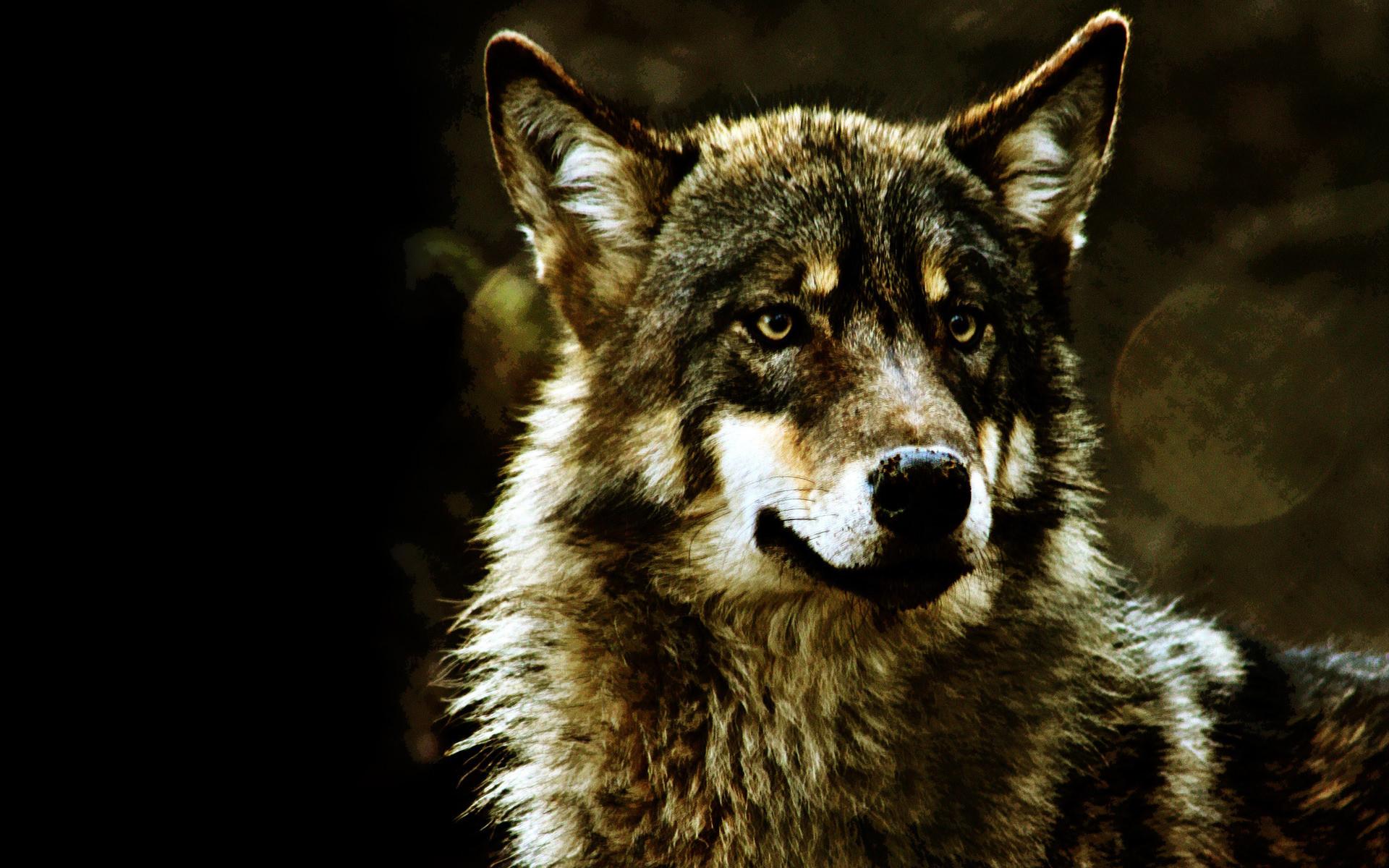 Attractive Wolf Desktop Wallpaper