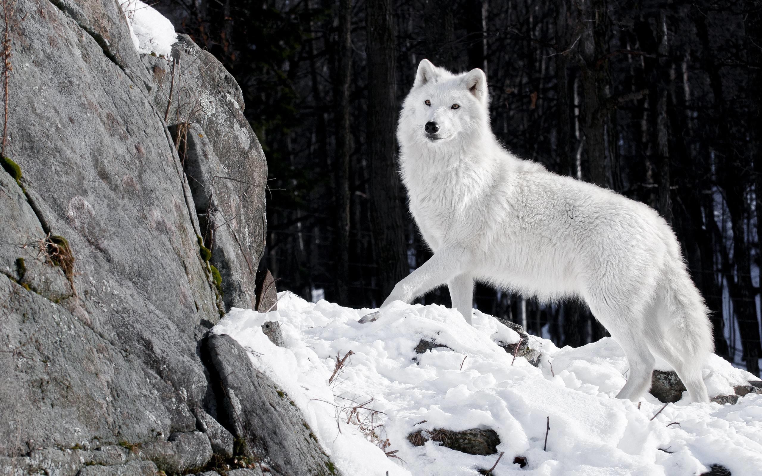 20 HD Wolf Wallpaper   CuriositySplash
