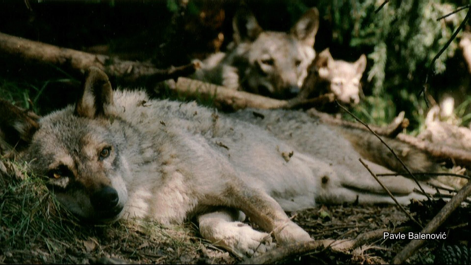 The pack of wolves released into the wild