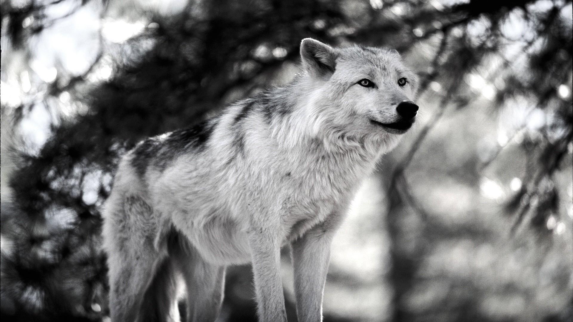 snow-wolf-1