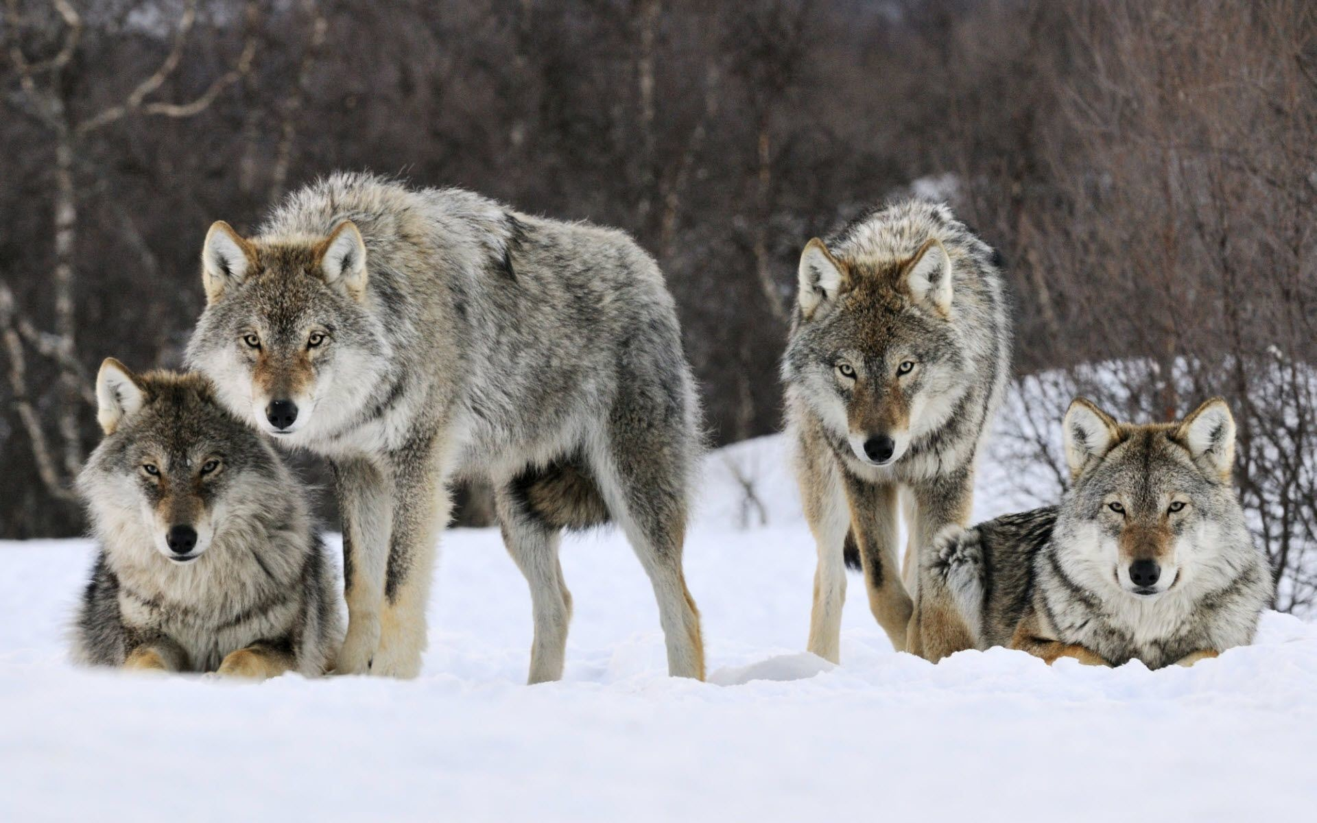Free Wolf Wallpapers And Screensavers 11751 Full HD Wallpaper .