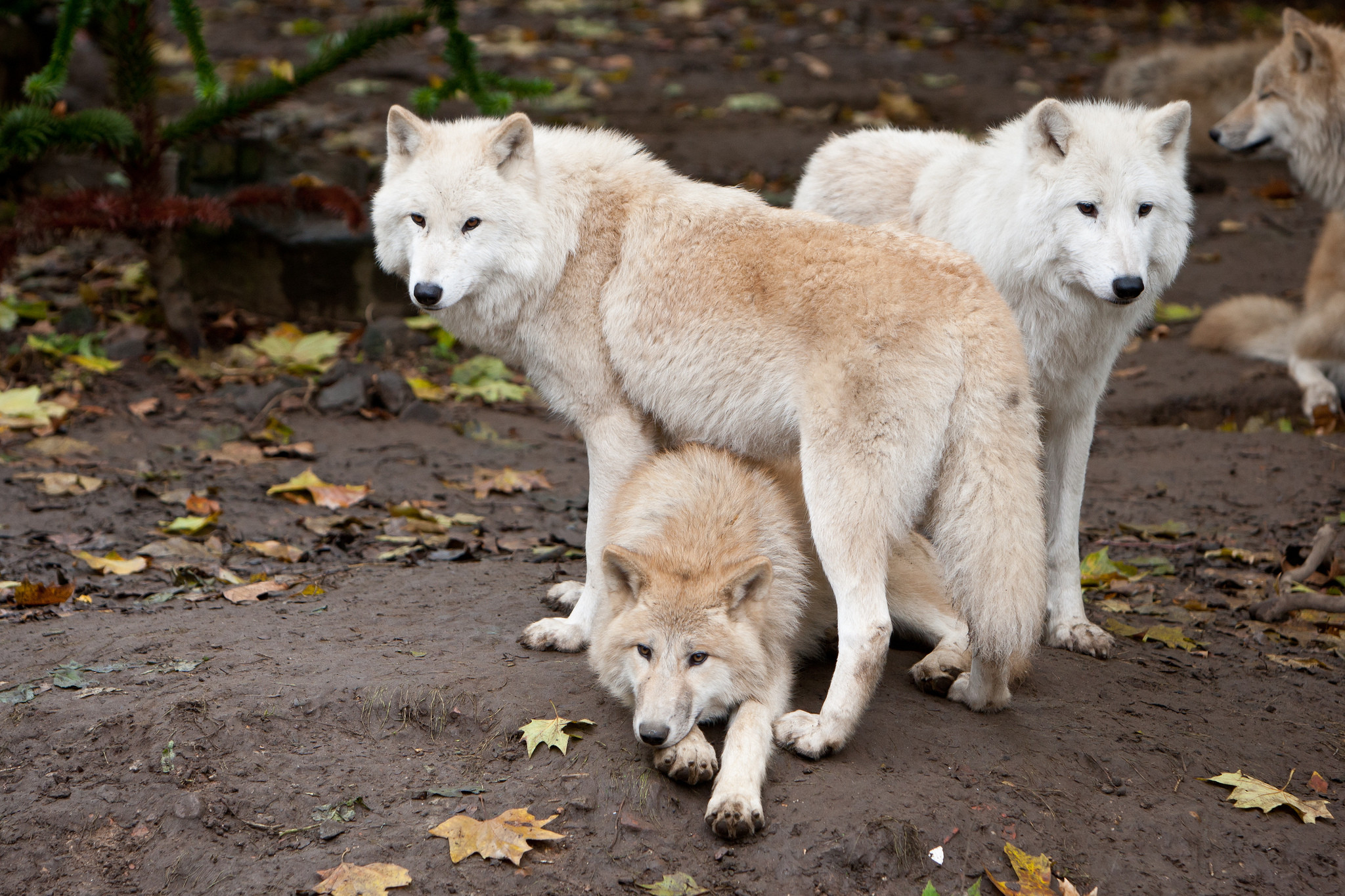 back to Wolf Facts and Information | Wolf Wallpapers HD Next Image .
