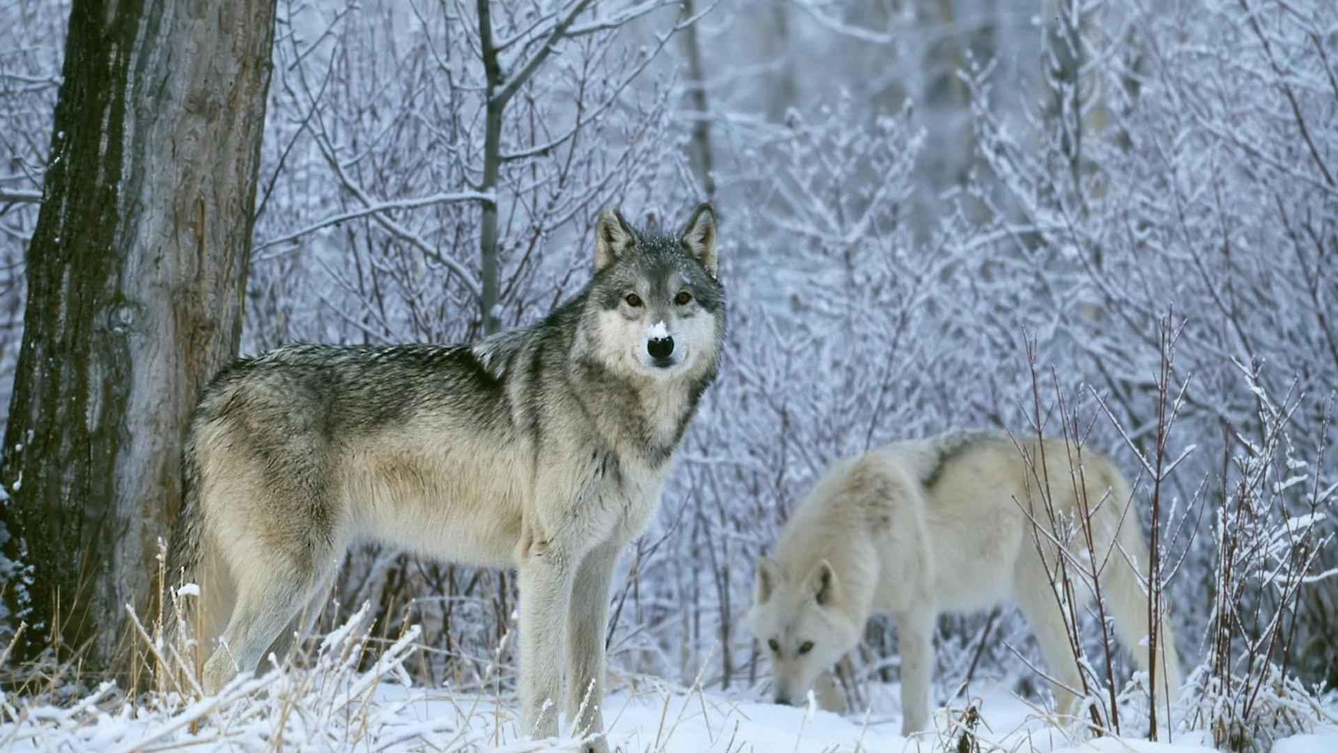 Wild Animals HD Desktop Wallpaper – Wolf