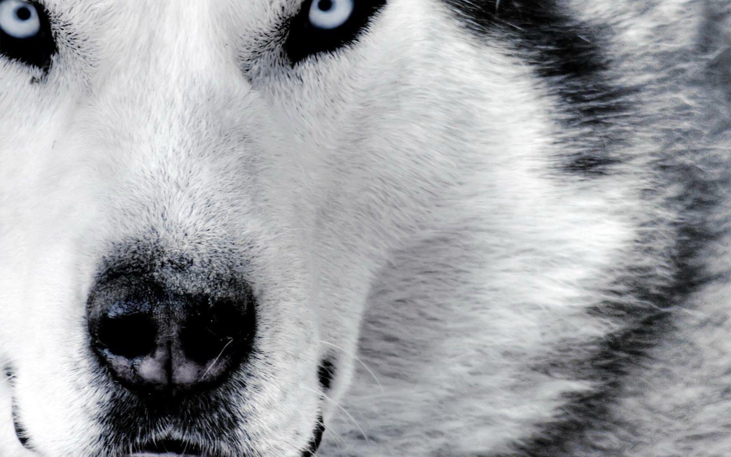 HD Wolf Wallpapers Wallpaper