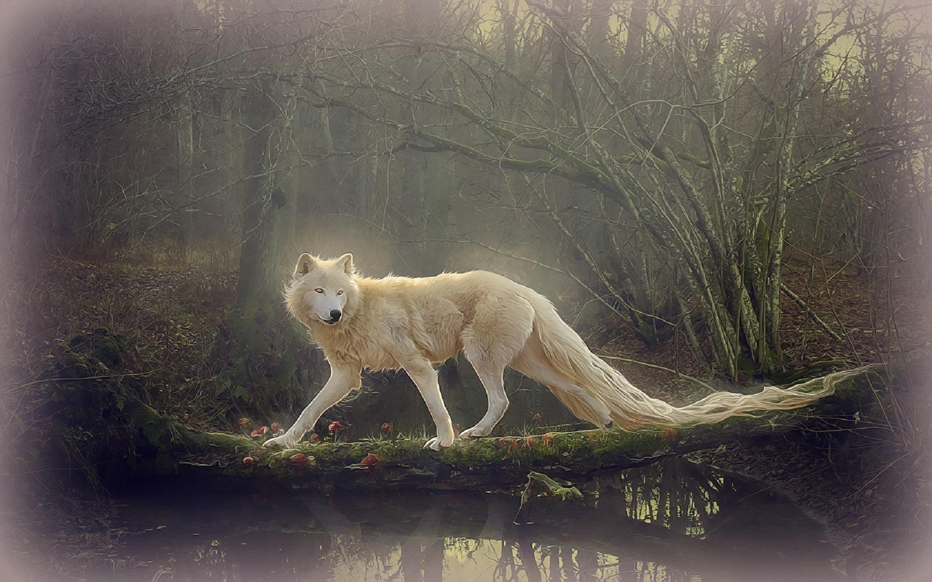 HD Beautiful White Wolf Wallpaper