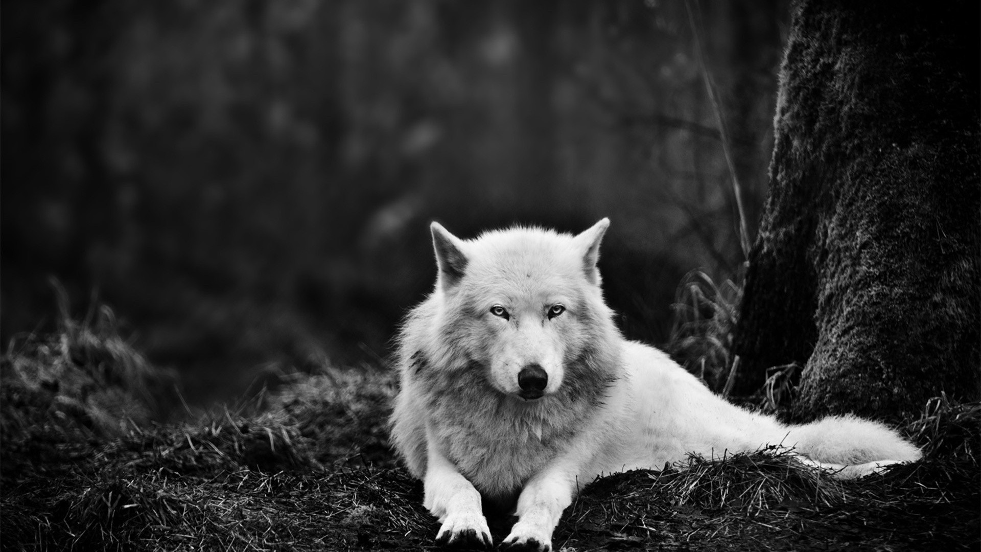 arctic wolf wallpaper cool