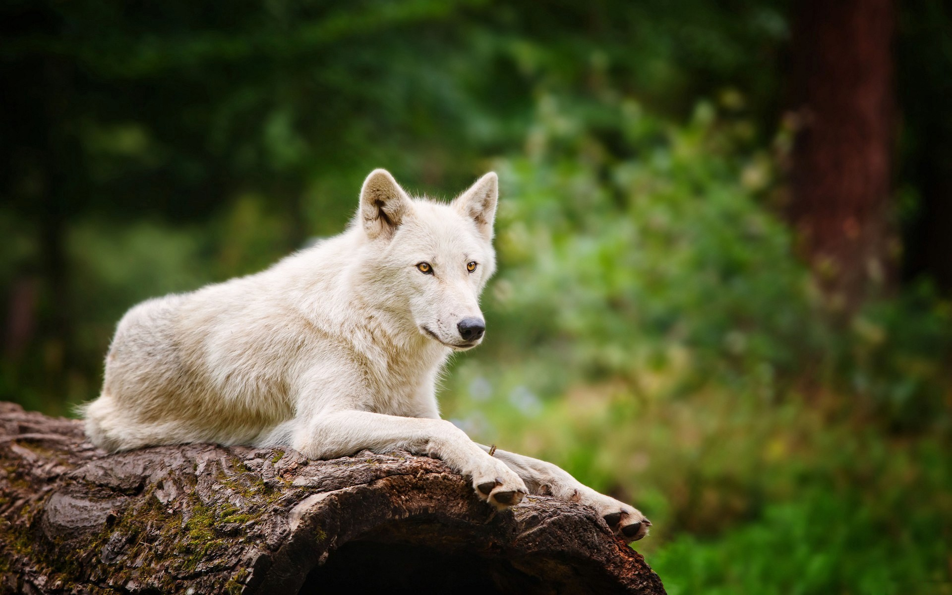 wolf screensavers and backgrounds free