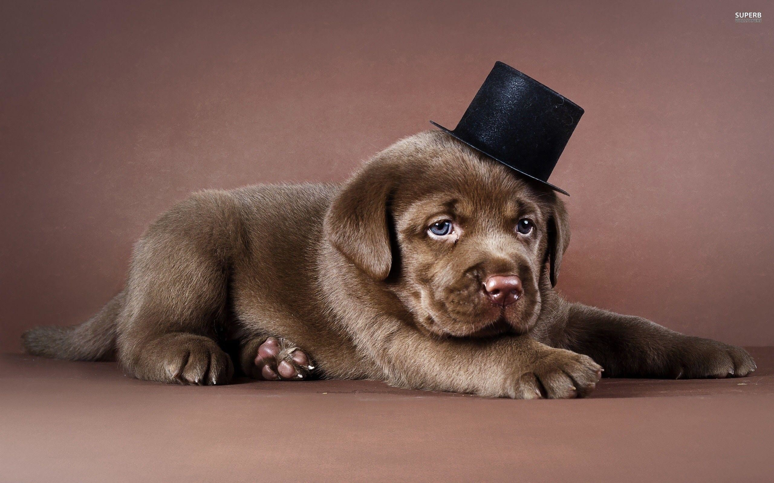 Related Pictures Chocolate Labrador Dog Wallpaper Dog Wallpaper .