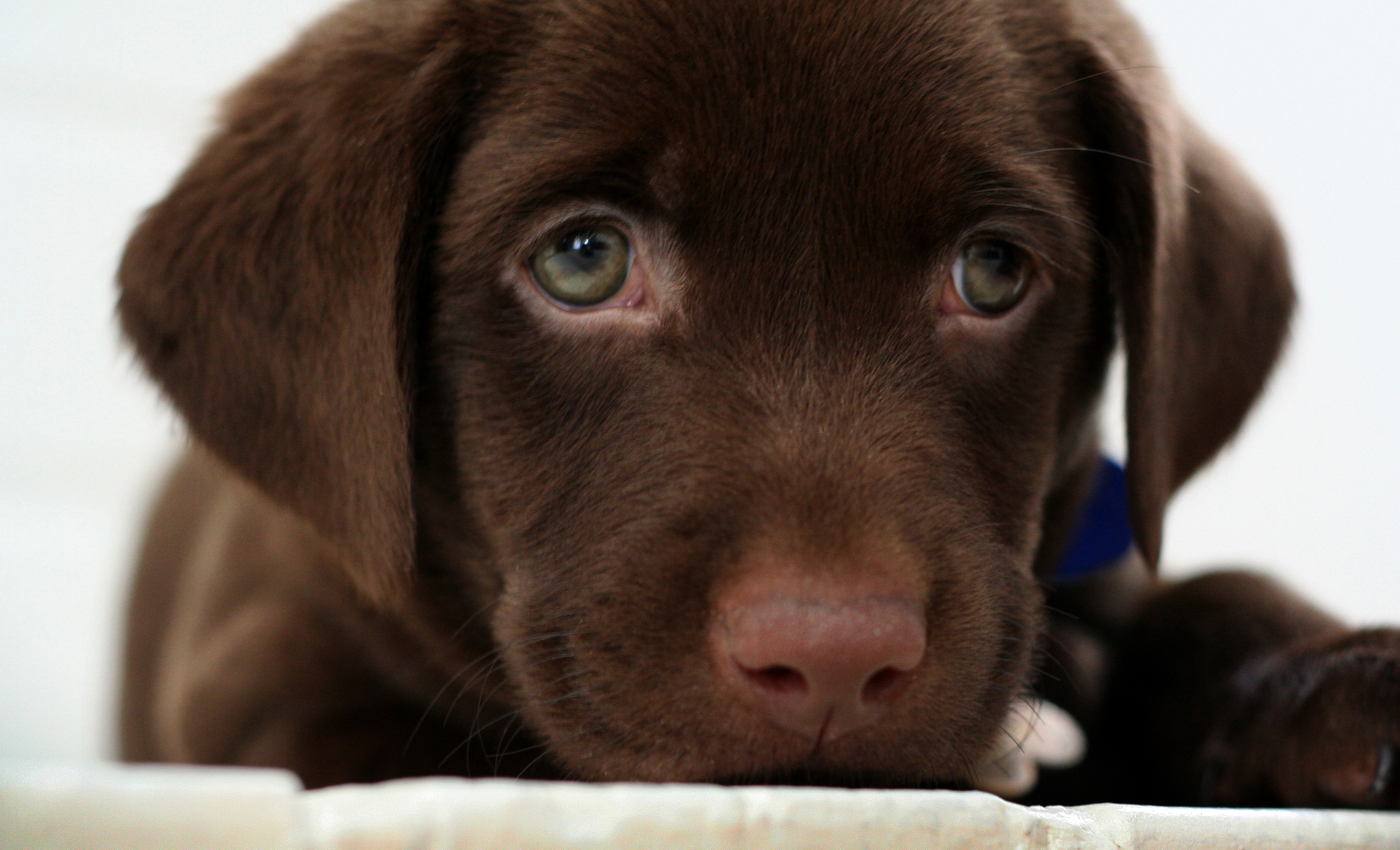 What is cuter than a chocolate Lab puppy?